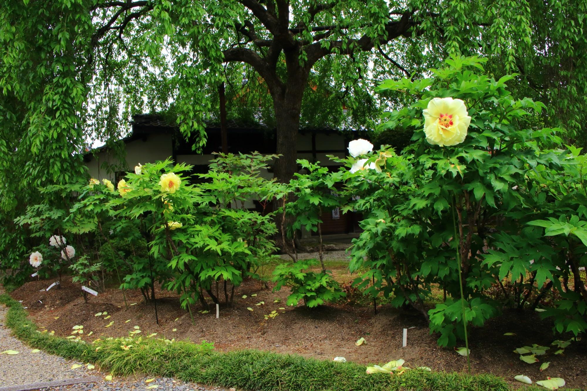 京都の牡丹の名所の本満寺の黄色い牡丹