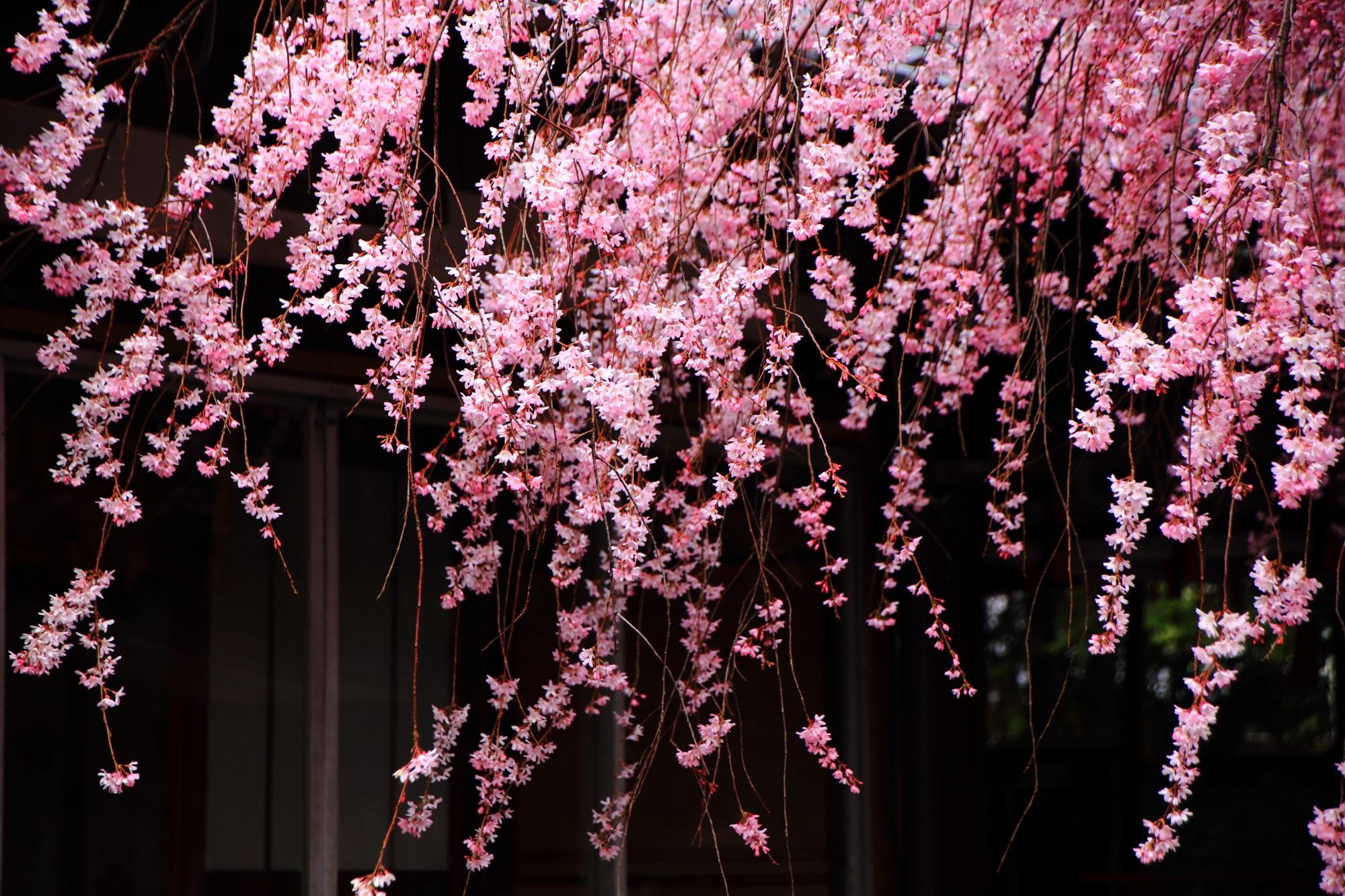 街中にある京都のしだれ桜の穴場