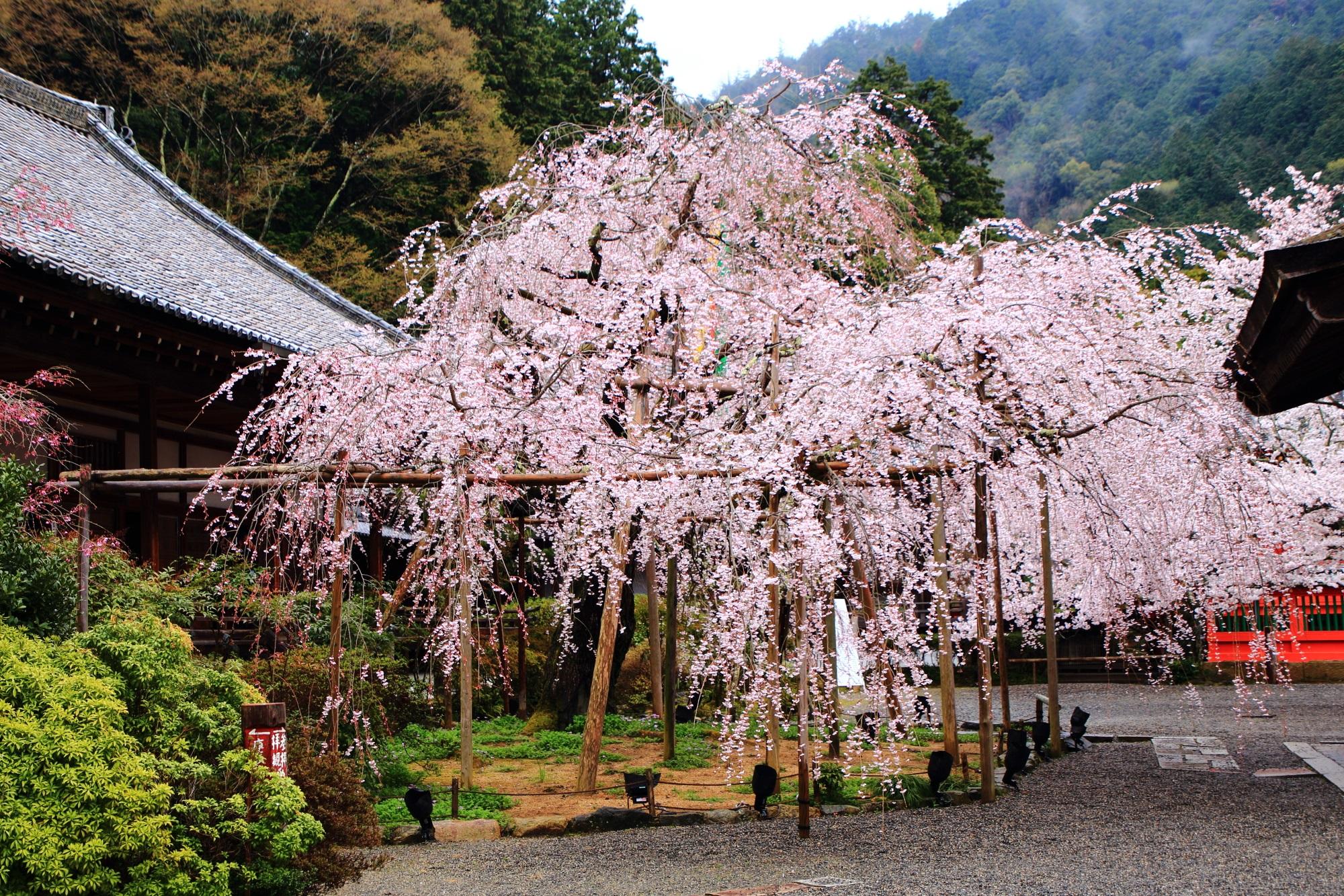 予想以上に凄い桜の名所