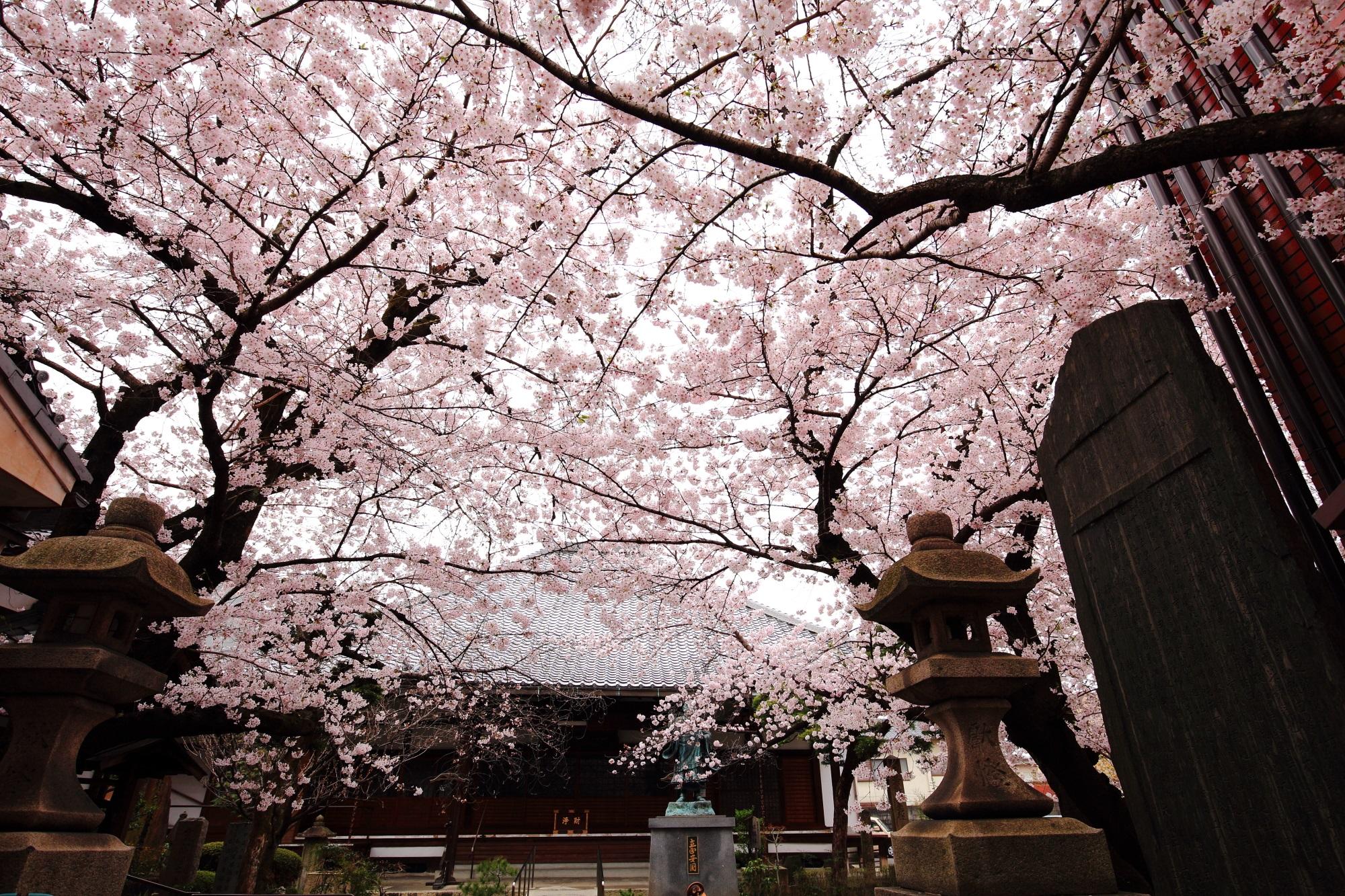 優雅な墨染桜と境内をそめる桜