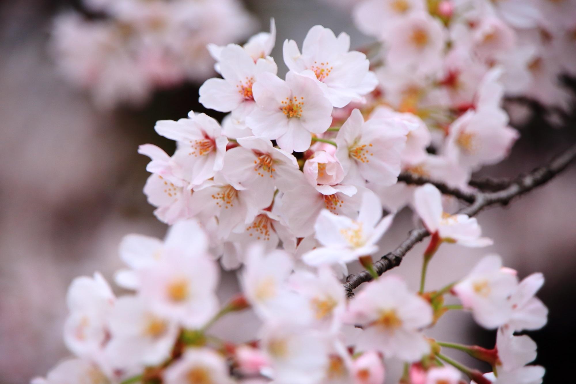 立本寺の花つきも色合いも最高の桜