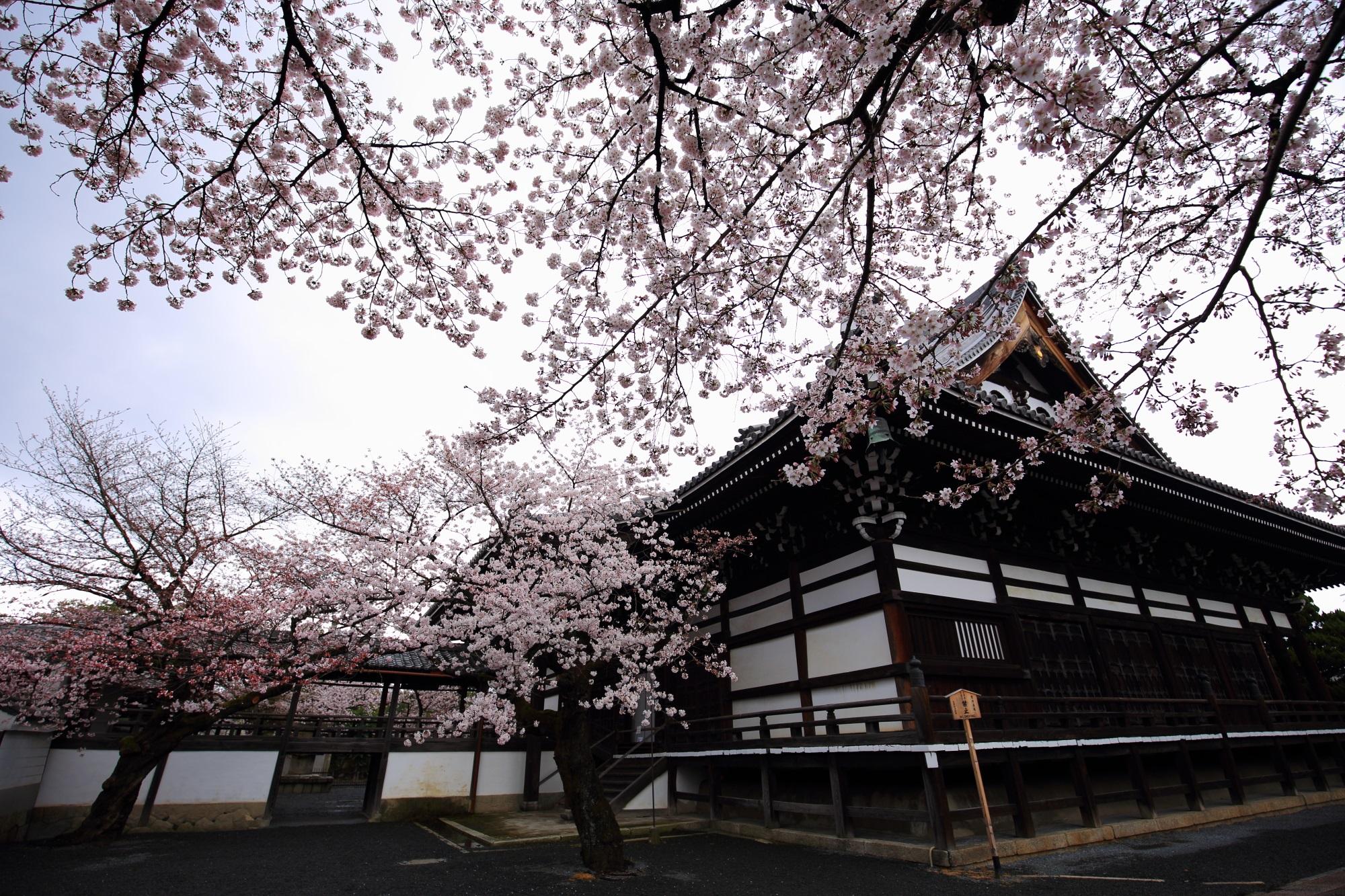 妙顕寺 桜 満開 春 名所