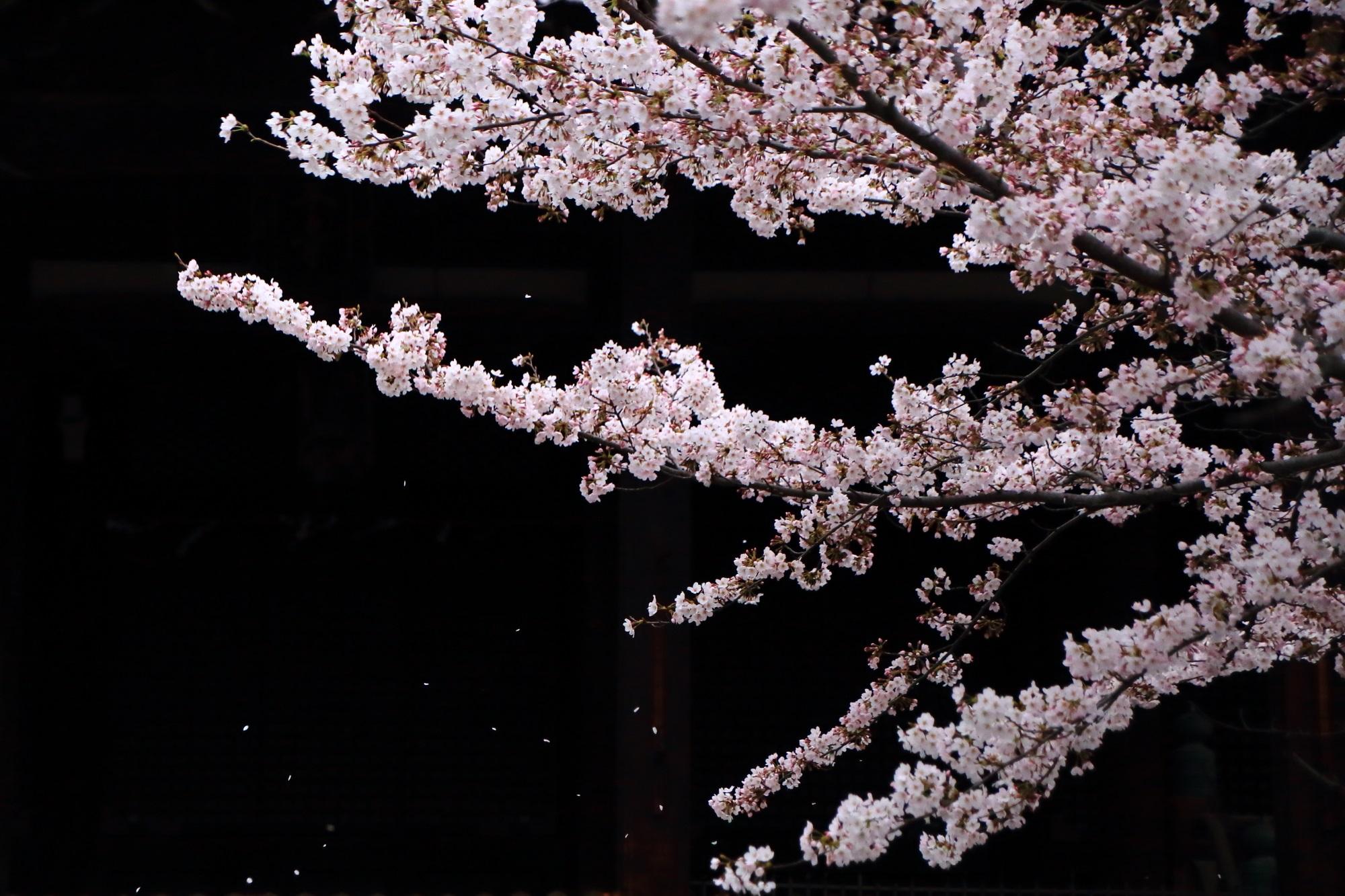 風に揺らいで華やかに散る桜