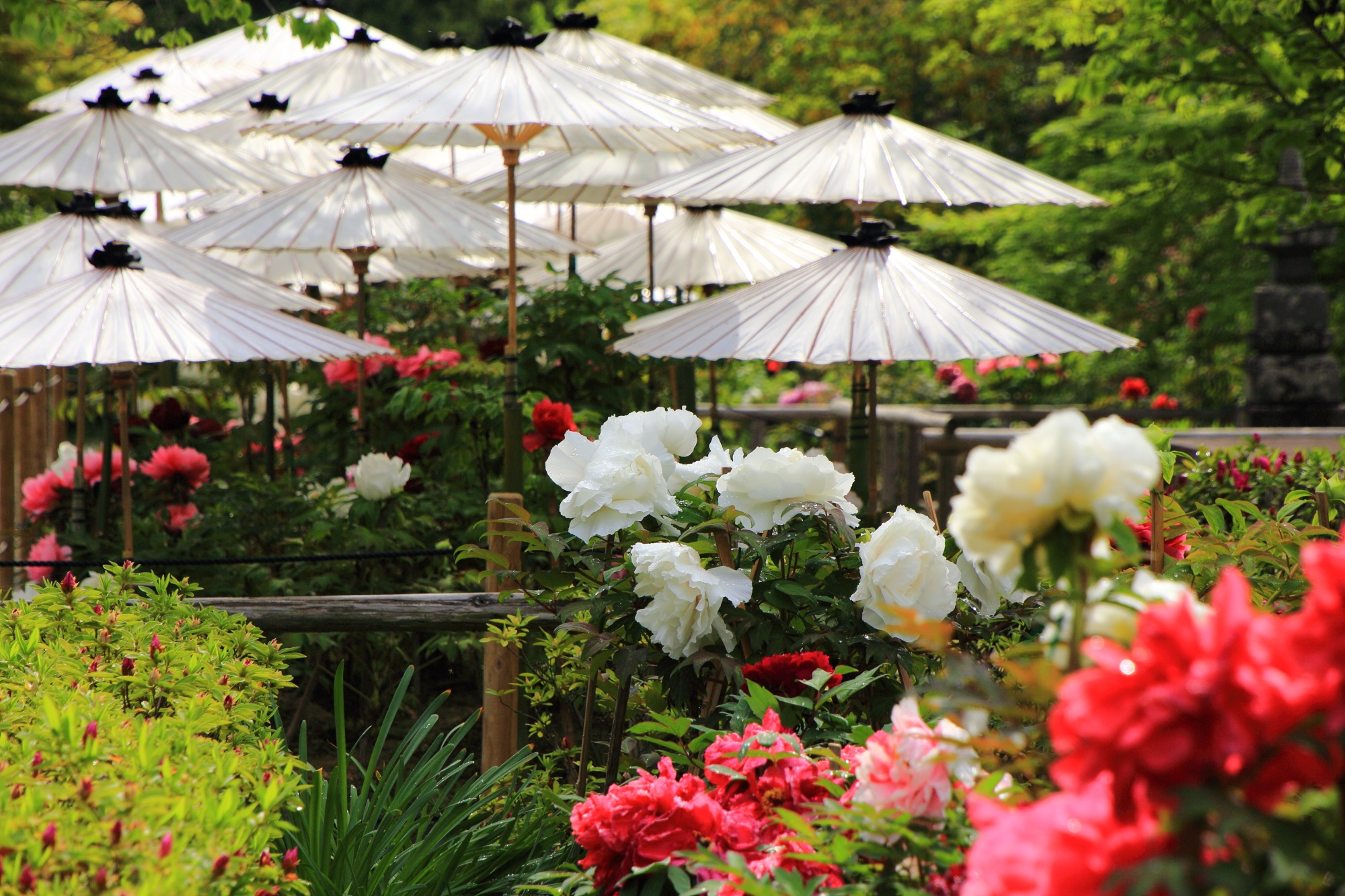 華やかな春色につつまれる牡丹の名所の乙訓寺