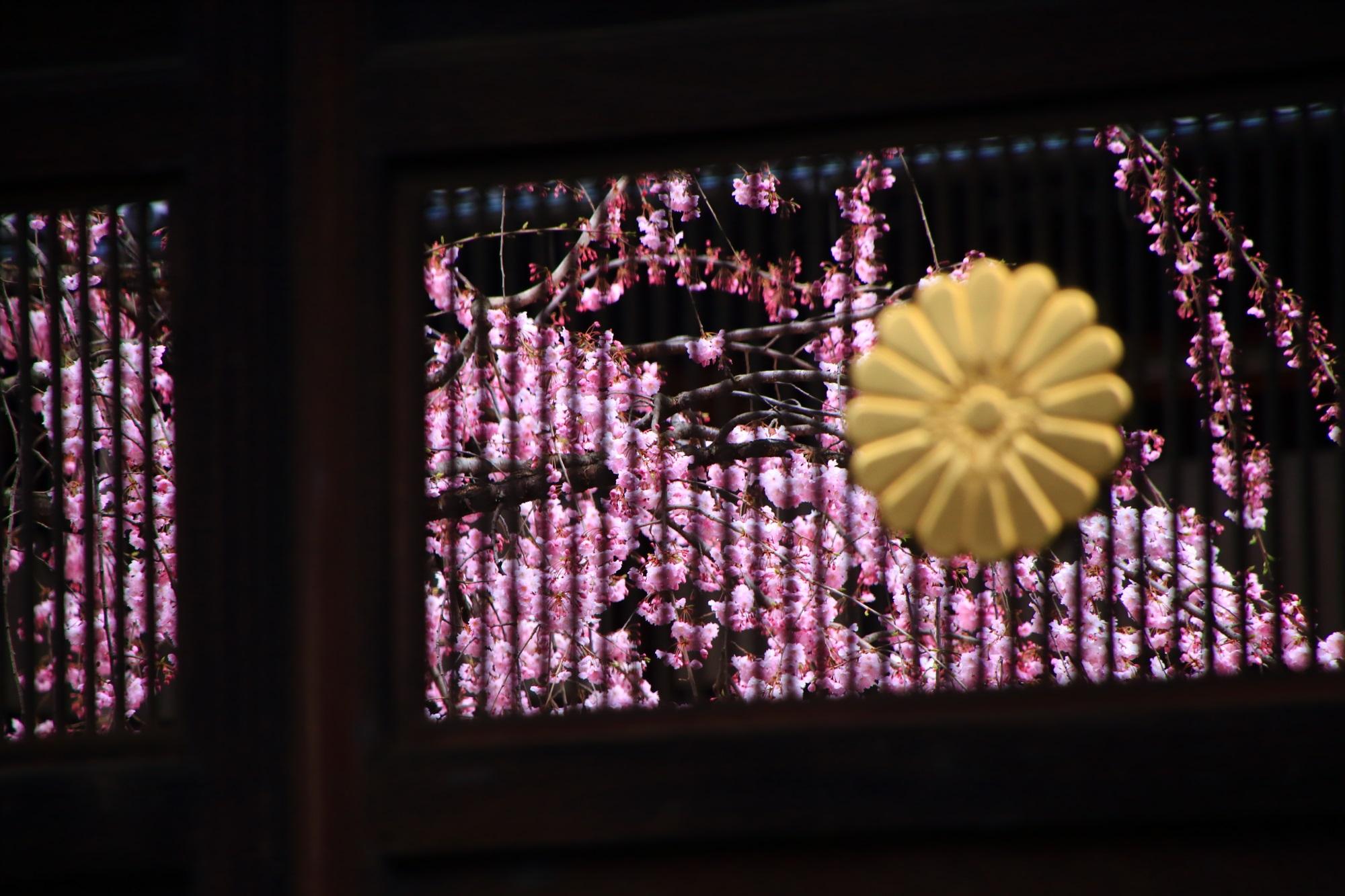 妙顕寺の満開のしだれ桜