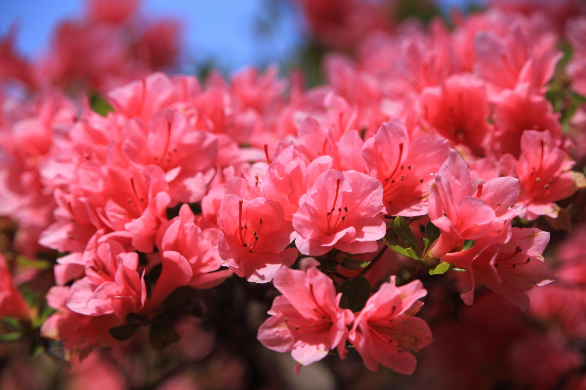 春らしいピンクの華やかなツツジの花