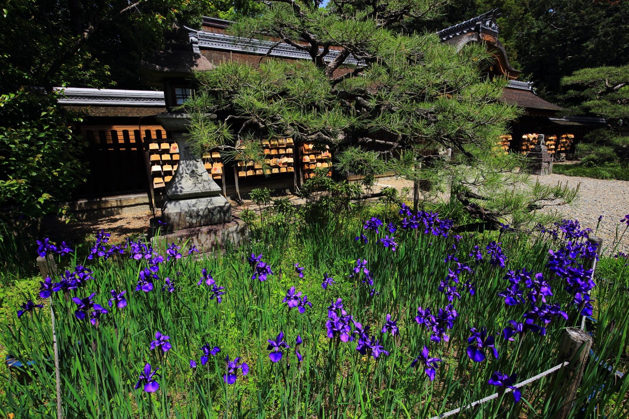 梅宮大社の本殿前の鮮やかな紫色のアヤメ