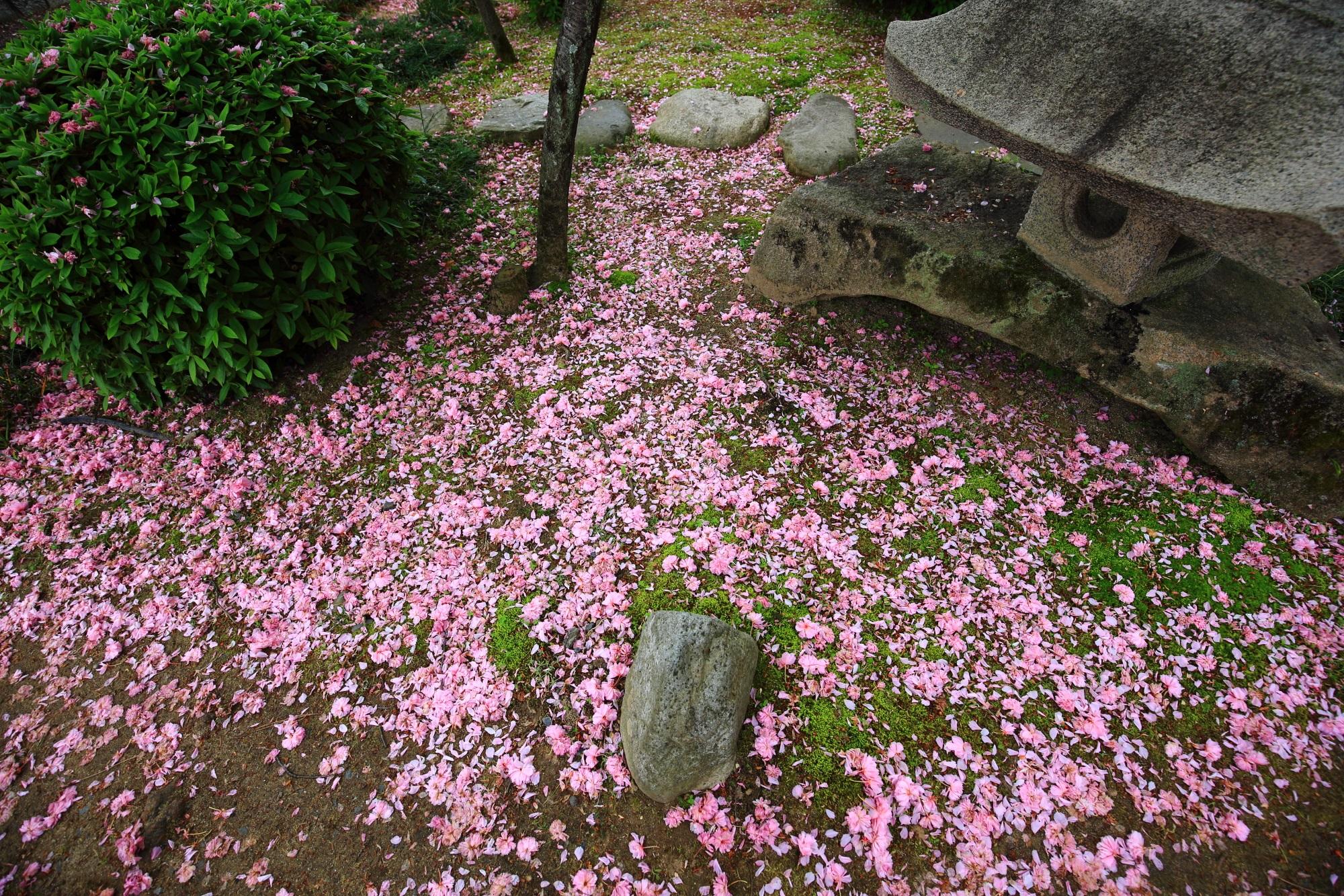 本満寺の素晴らしい散り桜