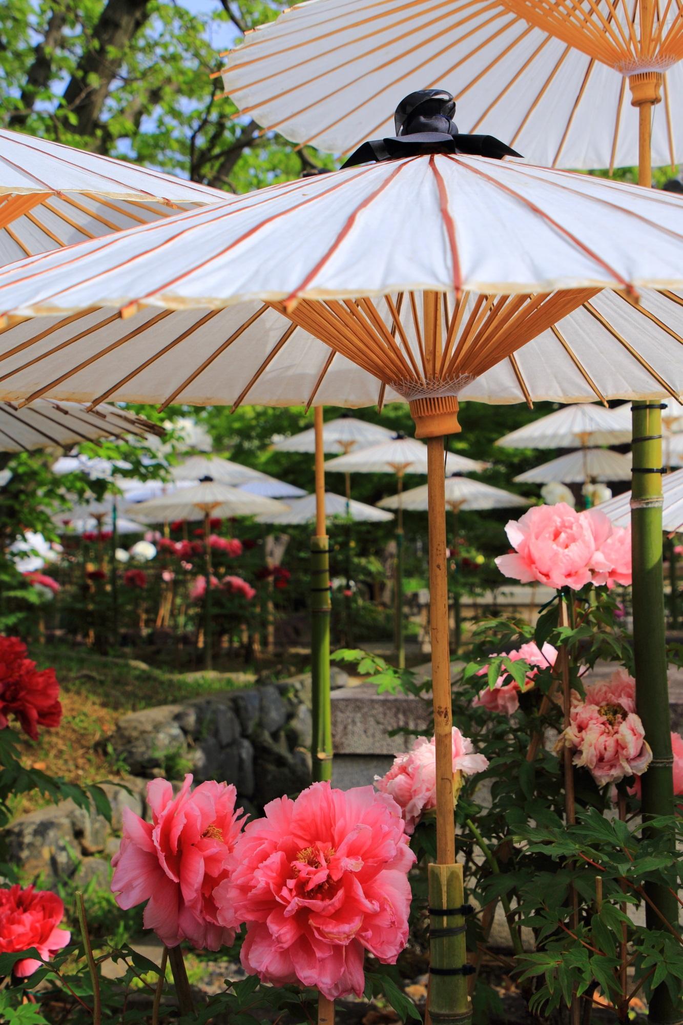 上品で風情もある満開の牡丹の花と和傘
