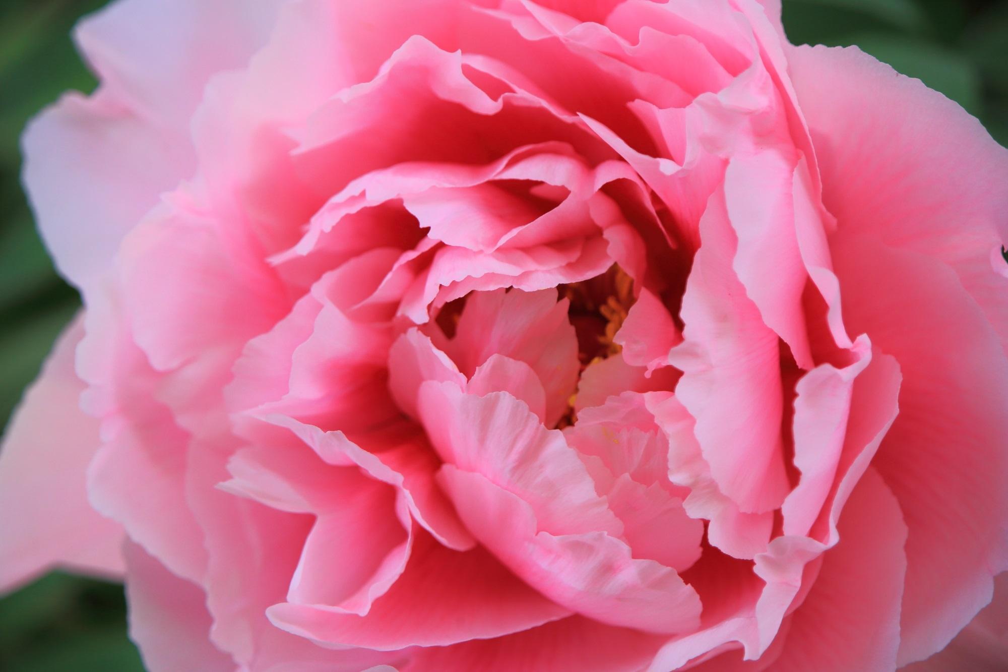 吸い込まれそうな淡いピンクの花