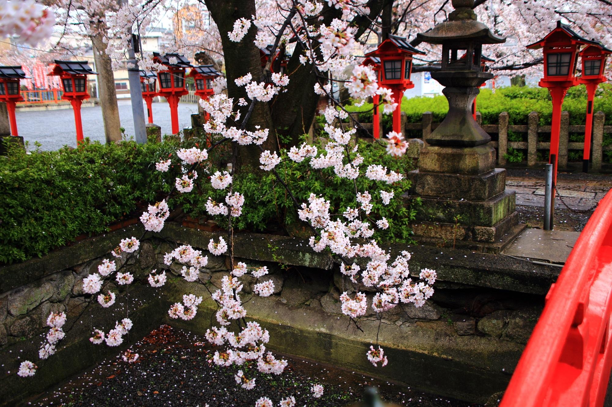 雨に揺らぐ風情ある桜