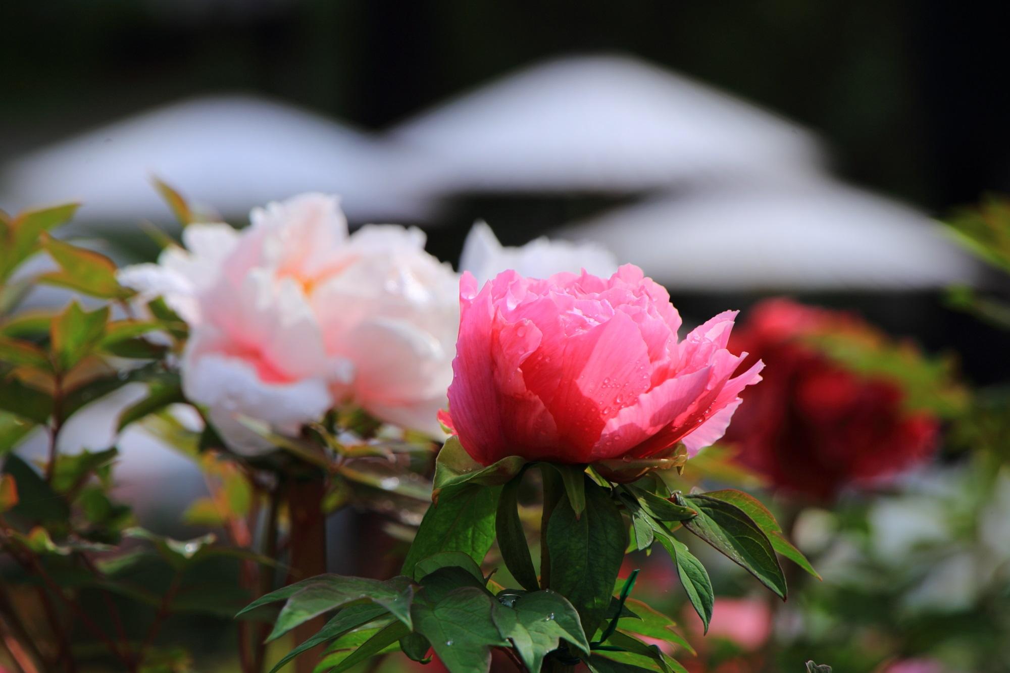 日が当たり透けるようなピンクの牡丹の花