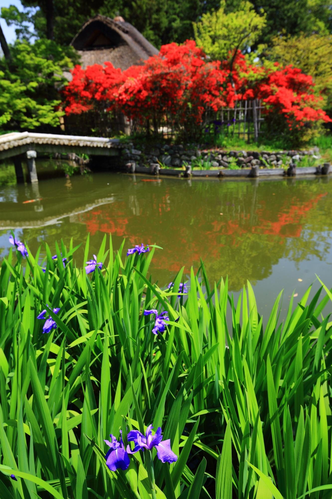 梅宮大社の赤いキリシマツツジと紫の杜若の鮮やかな春の競演