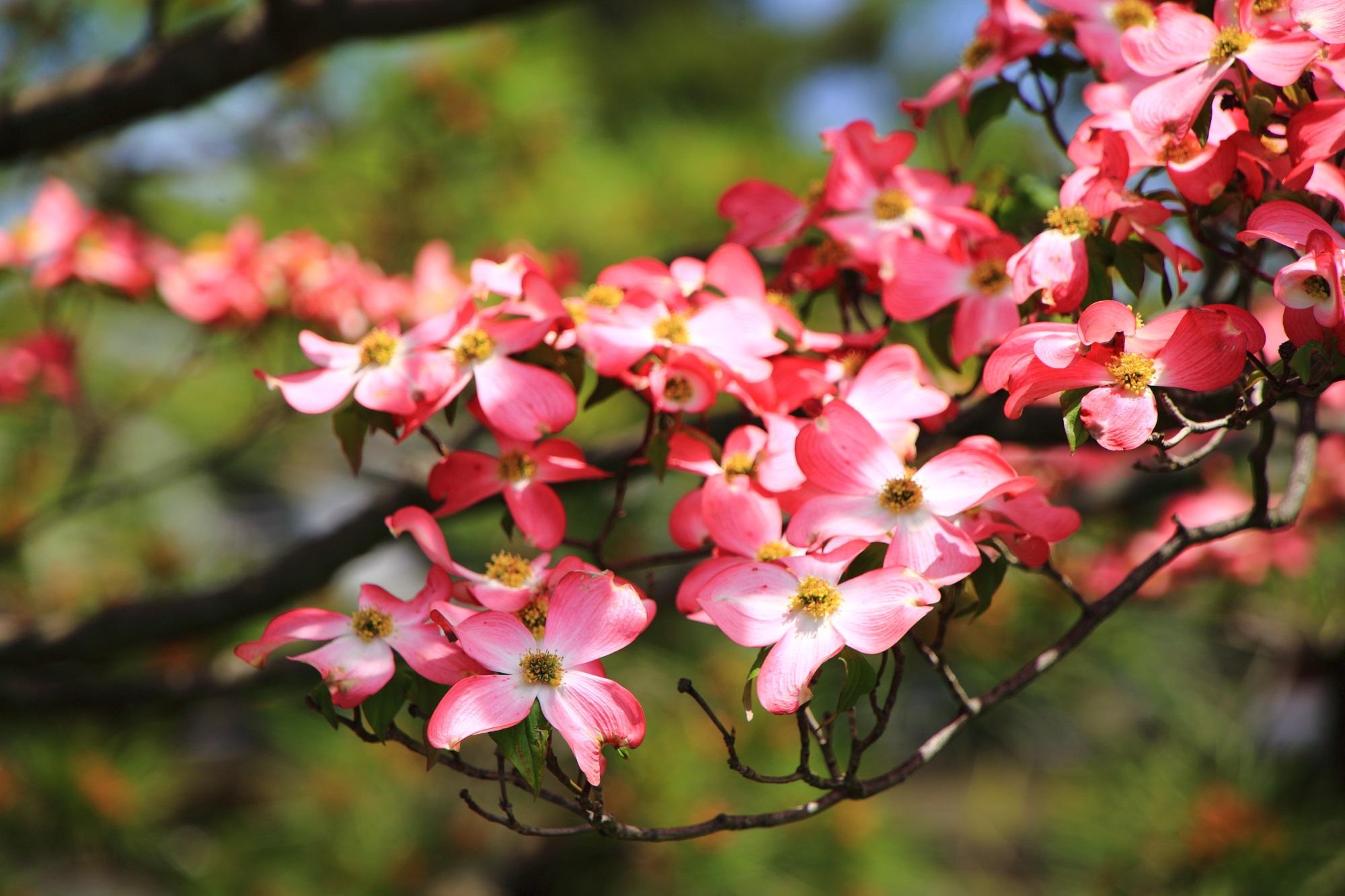 太陽を浴びて煌くピンクと白のハナミズキの春の彩り