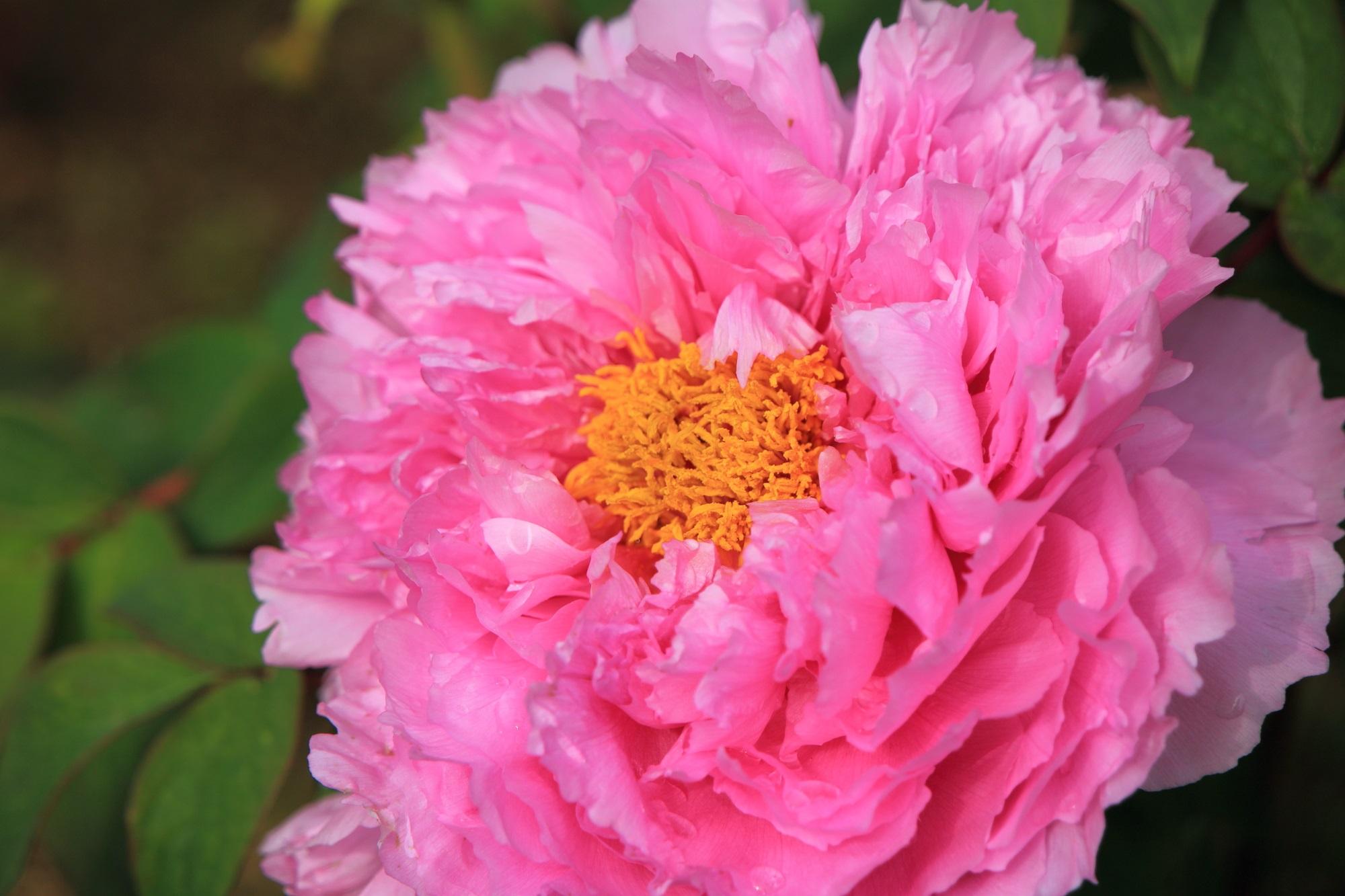 花びらが何重にも重なって元気に咲くボタンの花