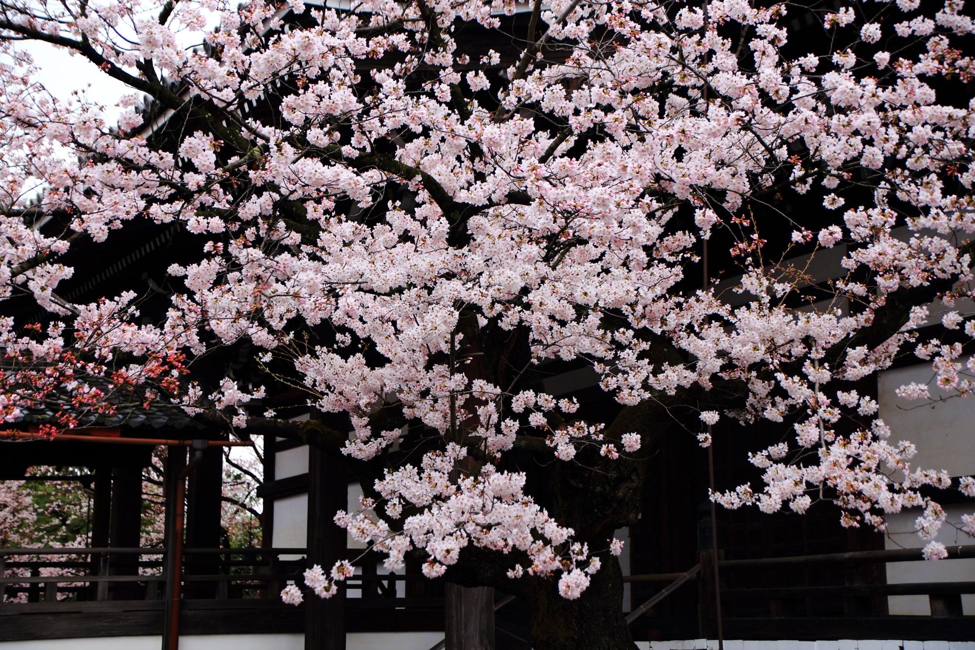 妙顕寺の本堂と咲き誇る桜