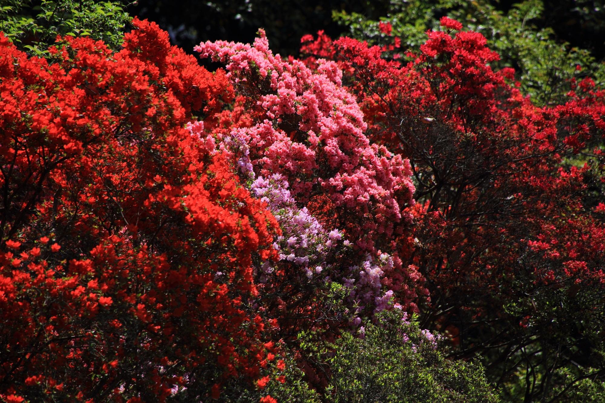 梅宮大社の煌びやかに咲く色とりどりのツツジ