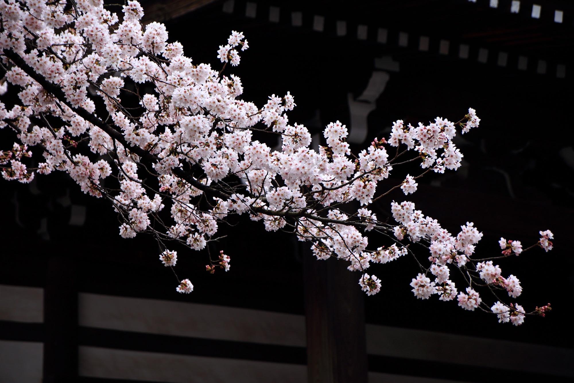 桜 妙顕寺 みょうけんじ 穴場 春