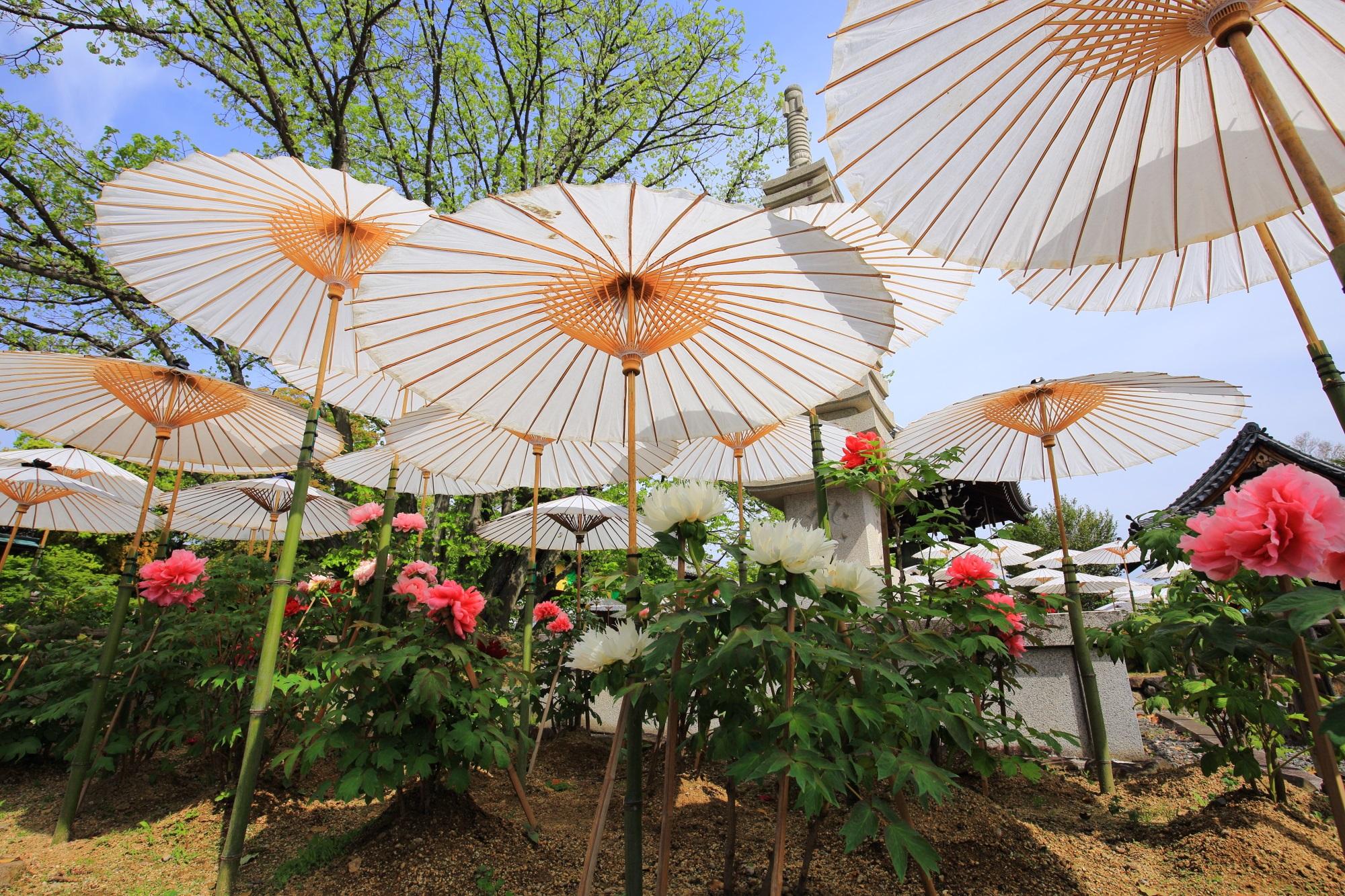 乙訓寺の素晴らしい牡丹の花と春の情景