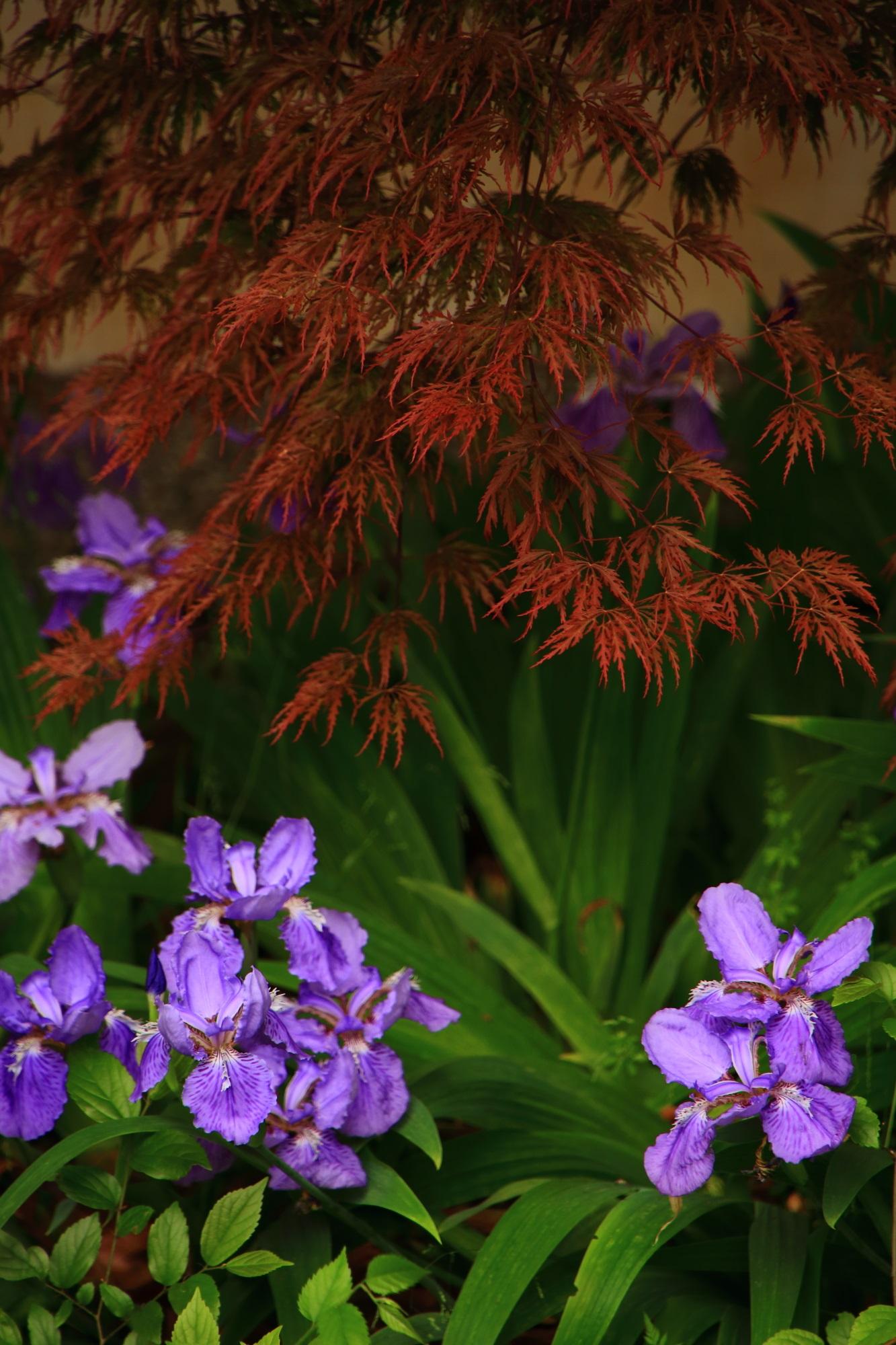 上御霊神社の素晴らしい一初(イチハツ)と春の情景