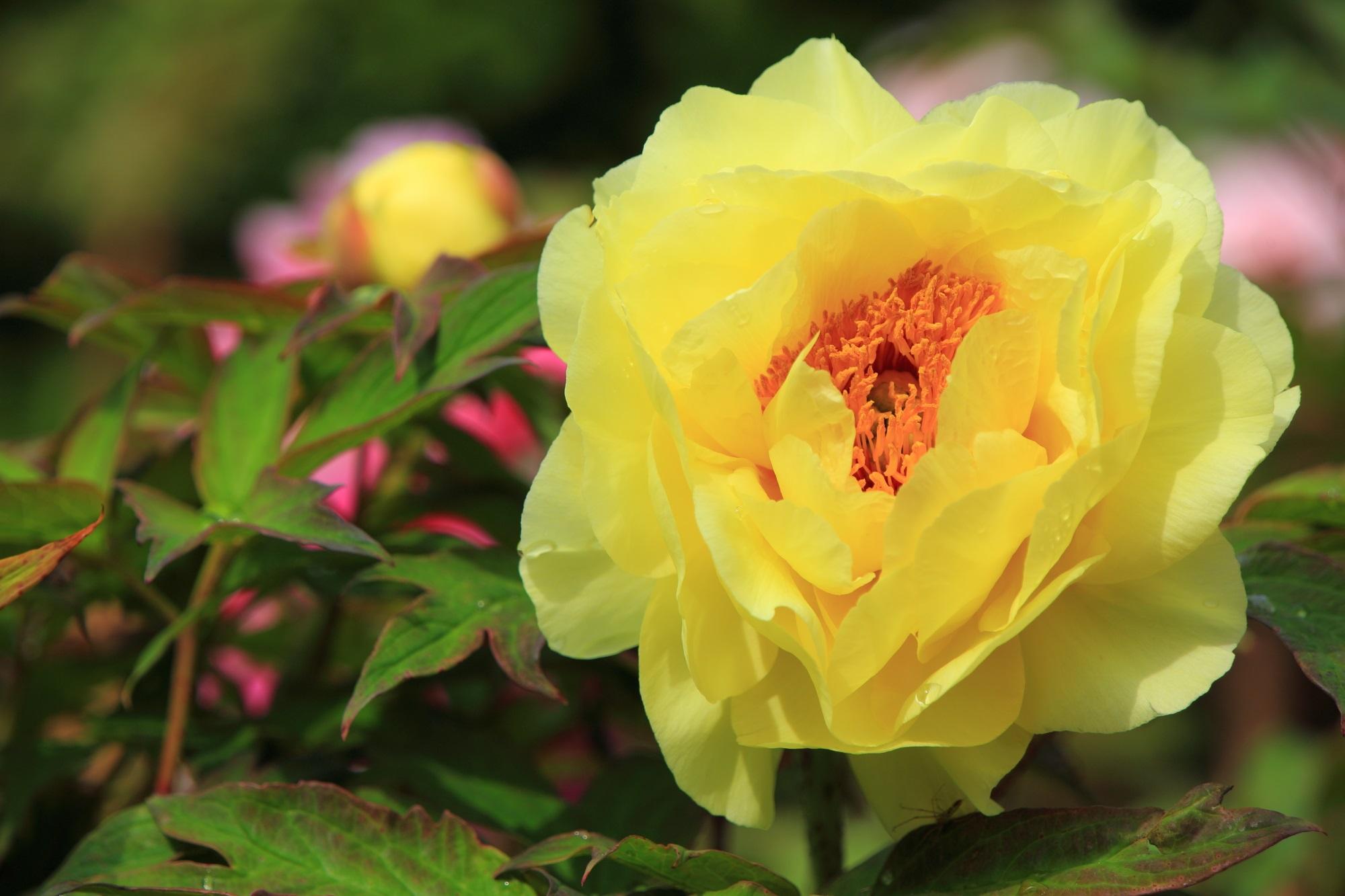 柔らかな春の太陽を浴びて輝く黄色い牡丹の花