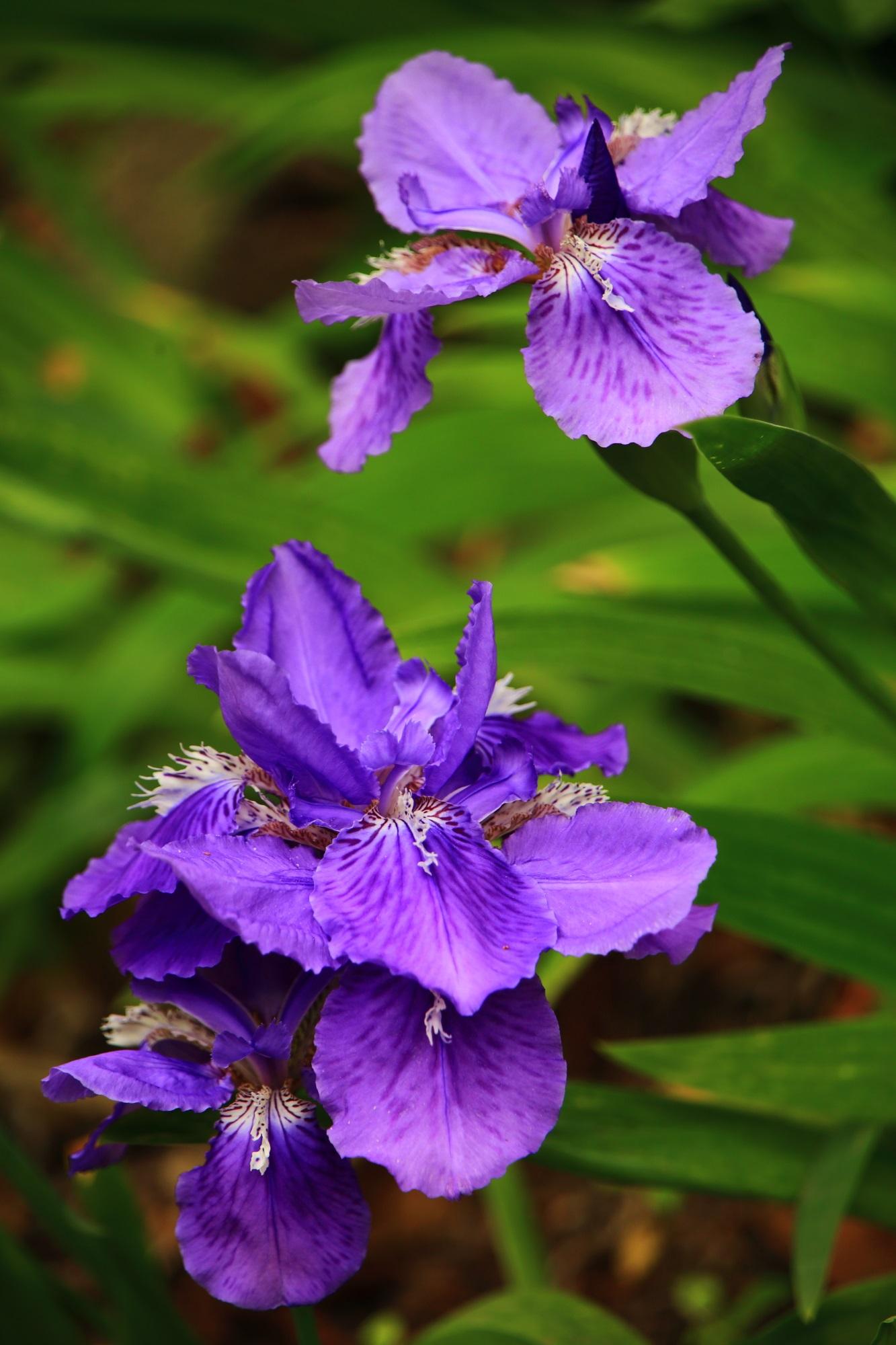 鮮やかで妖艶な色合いの花をしている上御霊神社のイチハツ