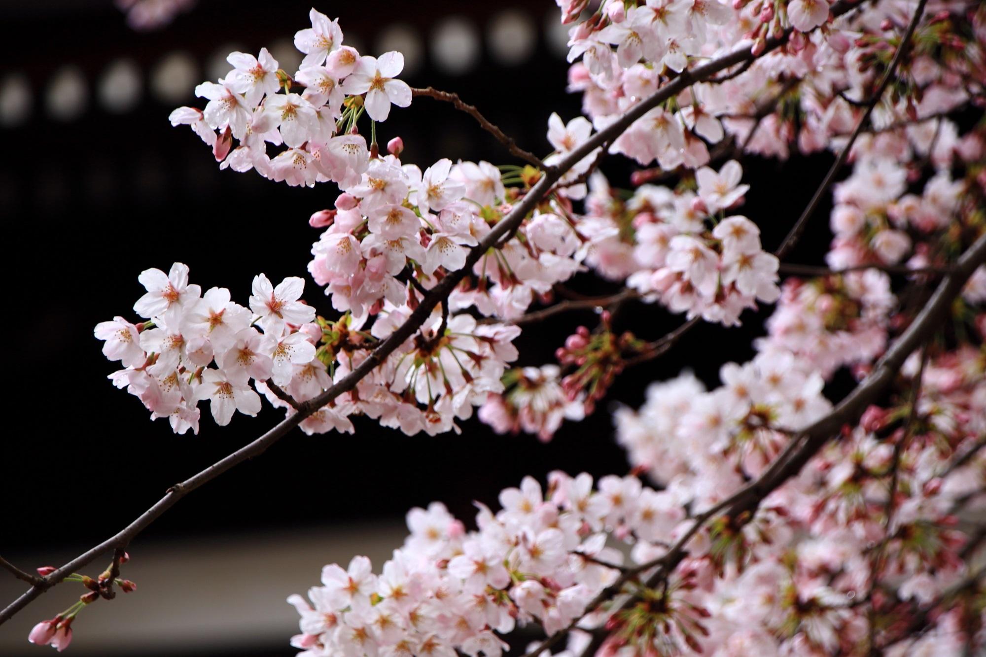 京都の桜の隠れた名所の妙顕寺(みょうけんじ)の満開の桜