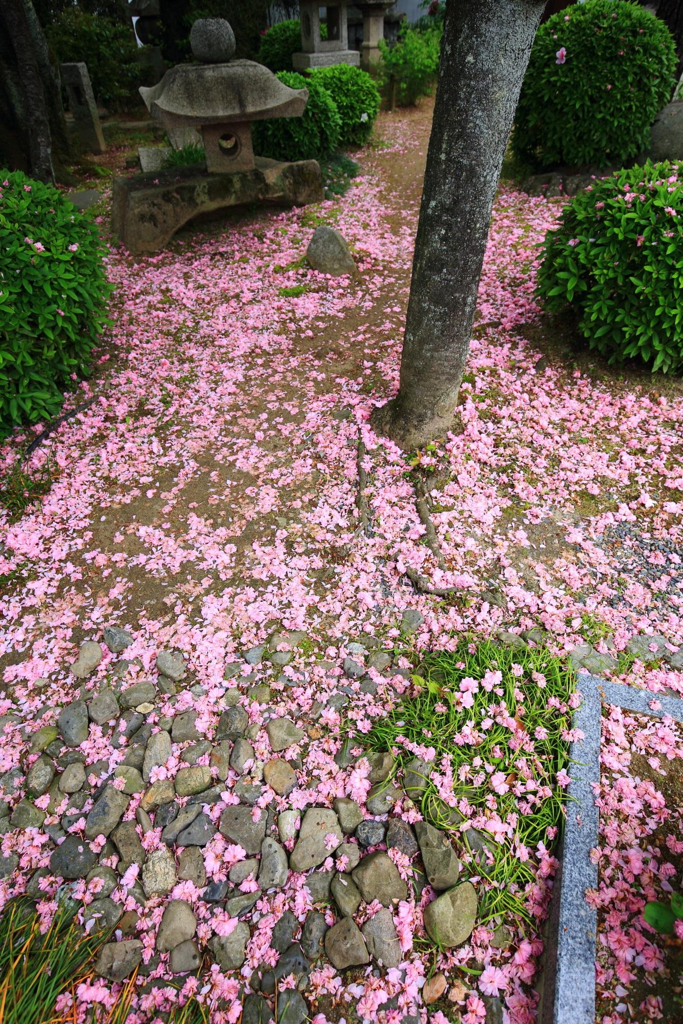 圧巻の散り桜の本満寺の本堂周辺