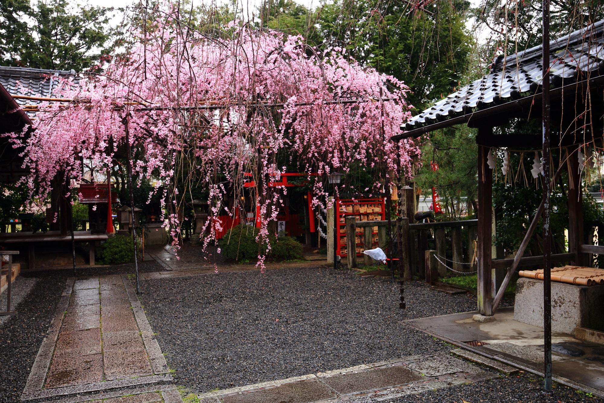咲き誇る見事なしだれ桜