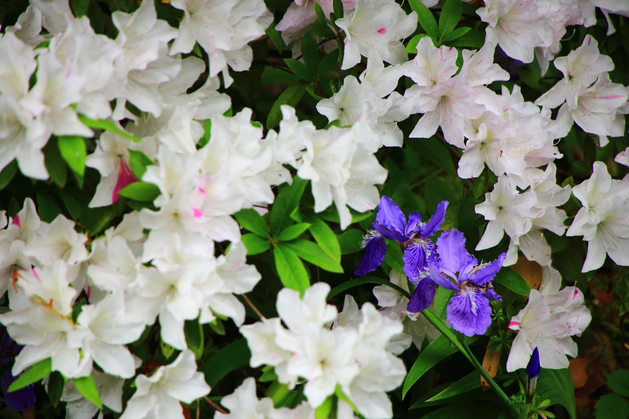 上御霊神社の白いツツジの花の中に咲く紫のイチハツの花