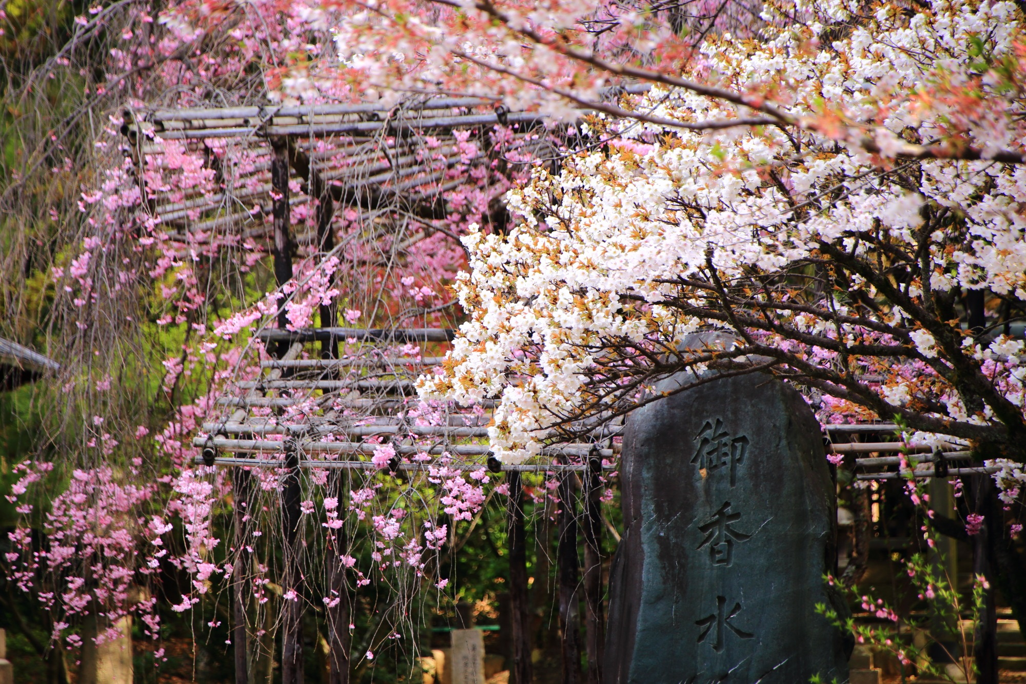 御香宮神社 桜 伏見の静かで華やかな桜