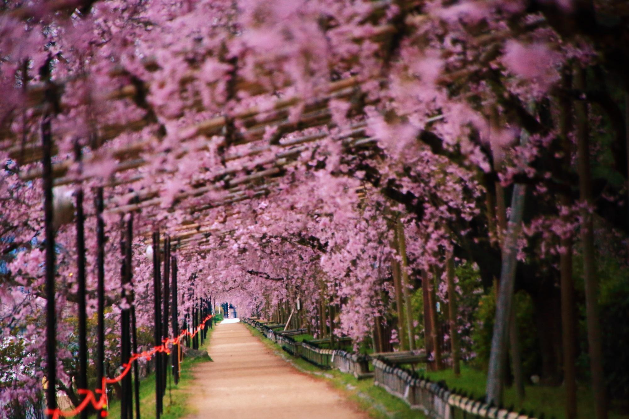 賀茂川のしだれ桜のトンネル