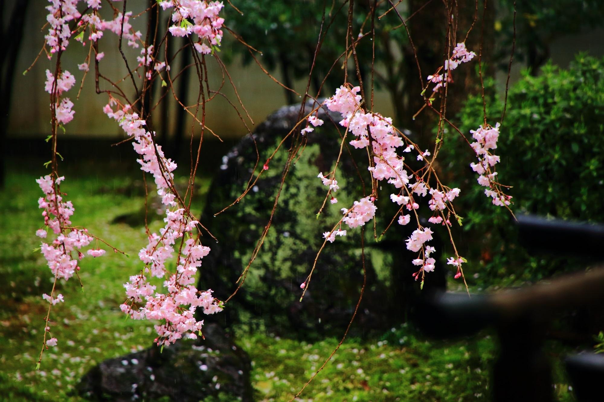 雨に咲く静かな桜 春の建仁寺 正伝永源院