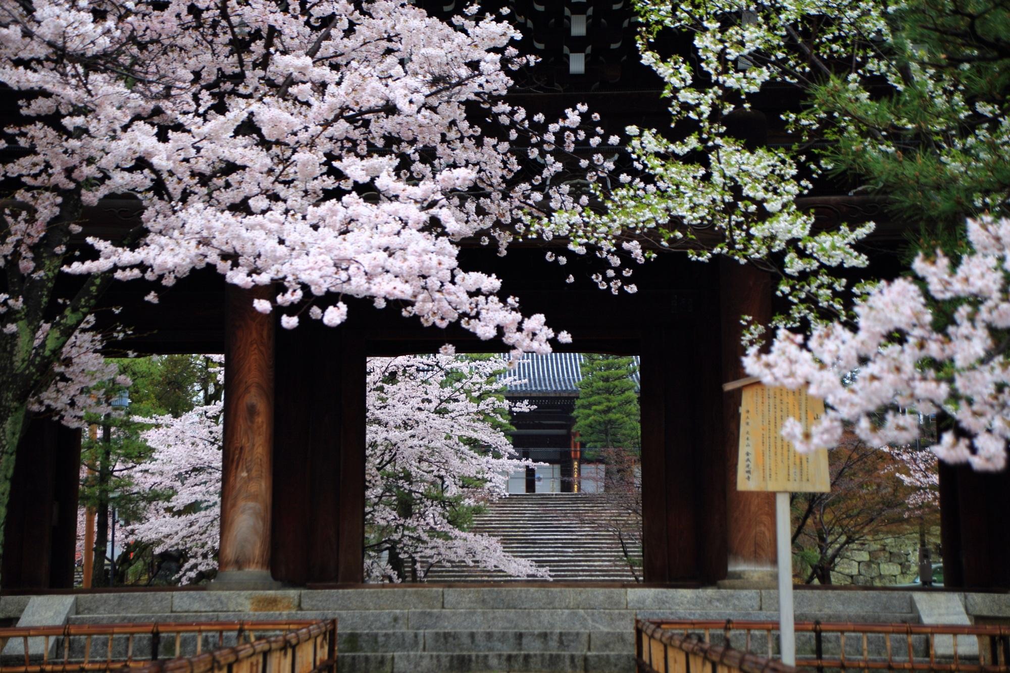 美しい雨の桜