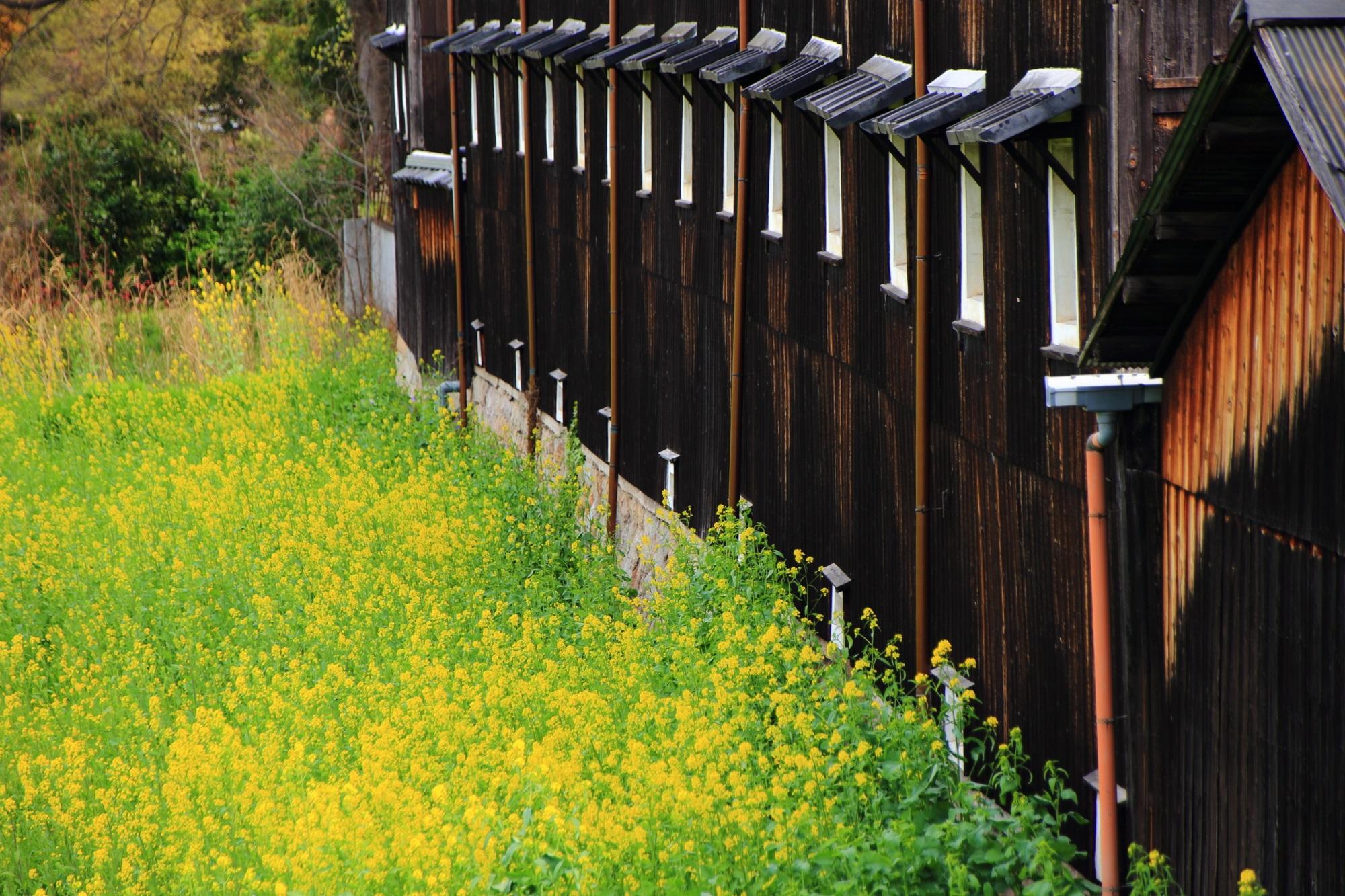 松本酒造 菜の花 伏見酒蔵の黄色い春の彩り