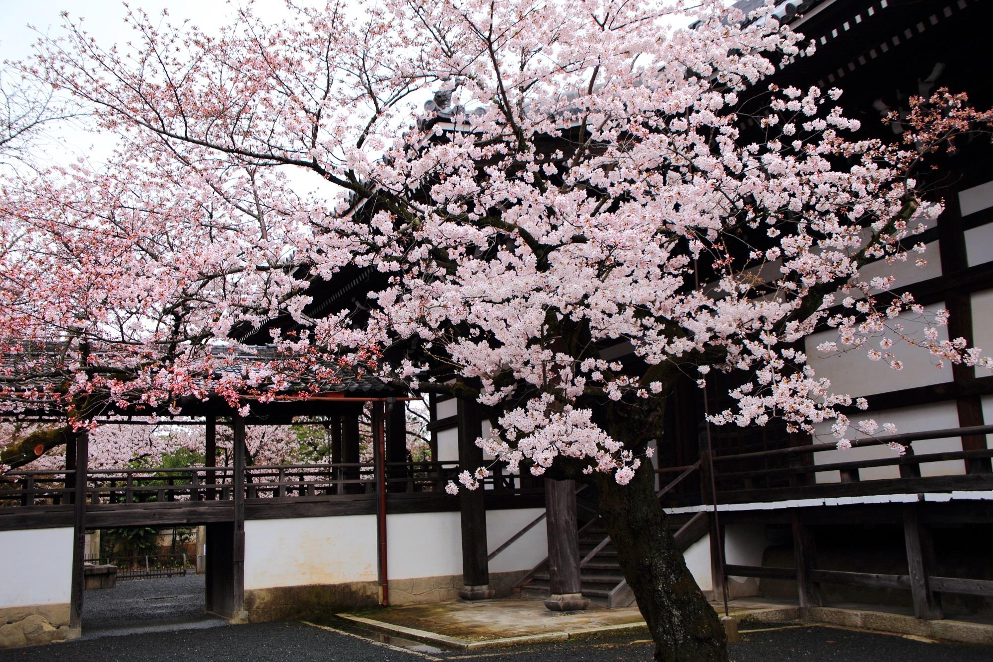 豪快な隠れた桜の名所