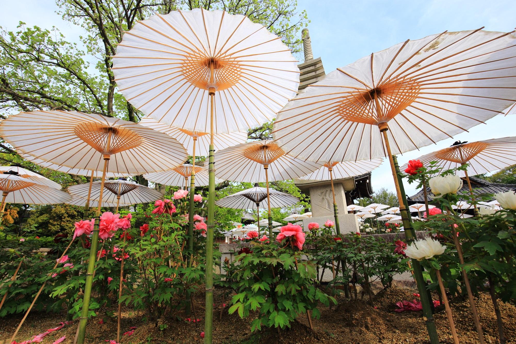 乙訓寺 牡丹 和傘と色とりどりの華やかな牡丹の花