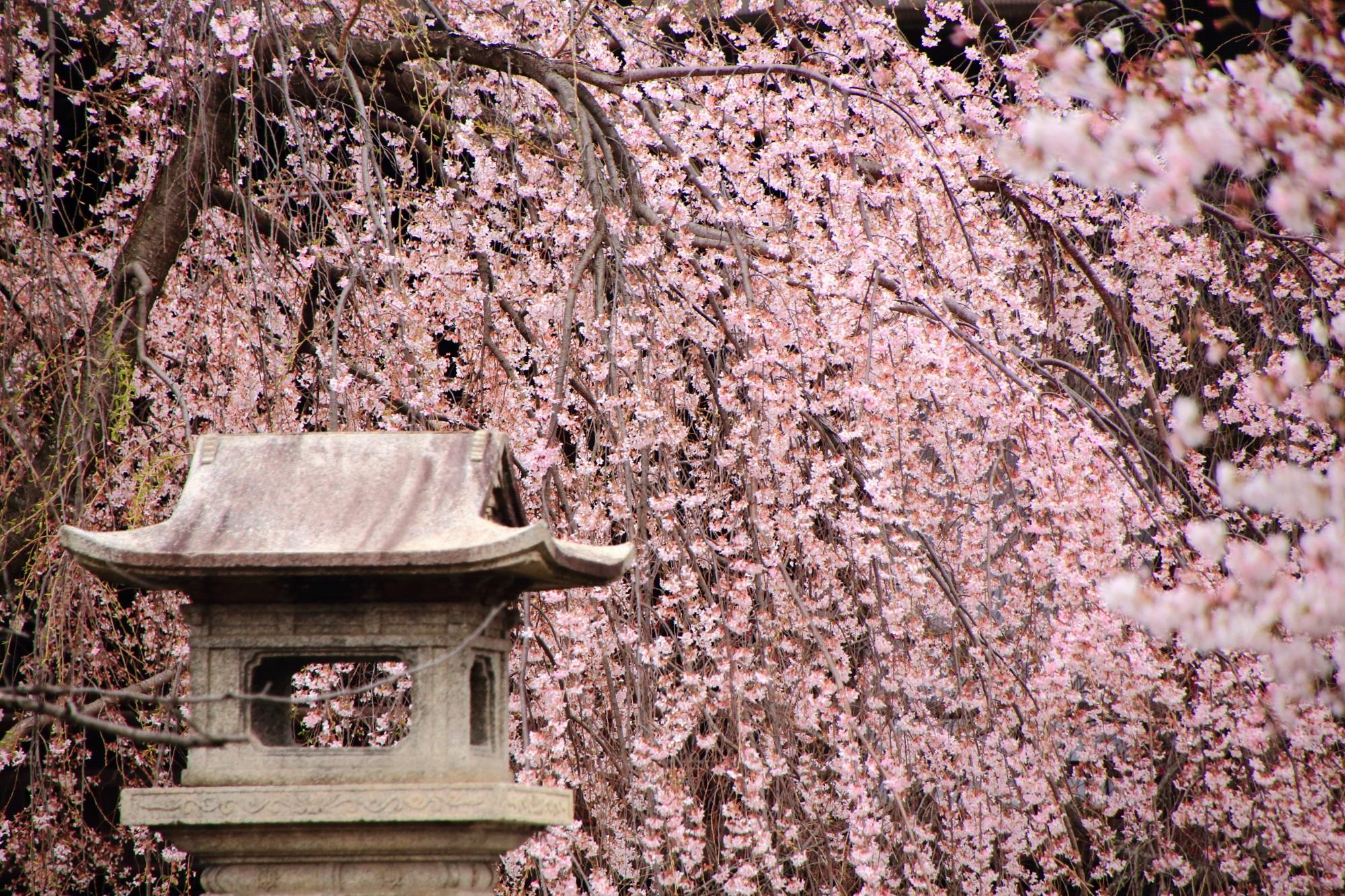 華やかな桜の穴場