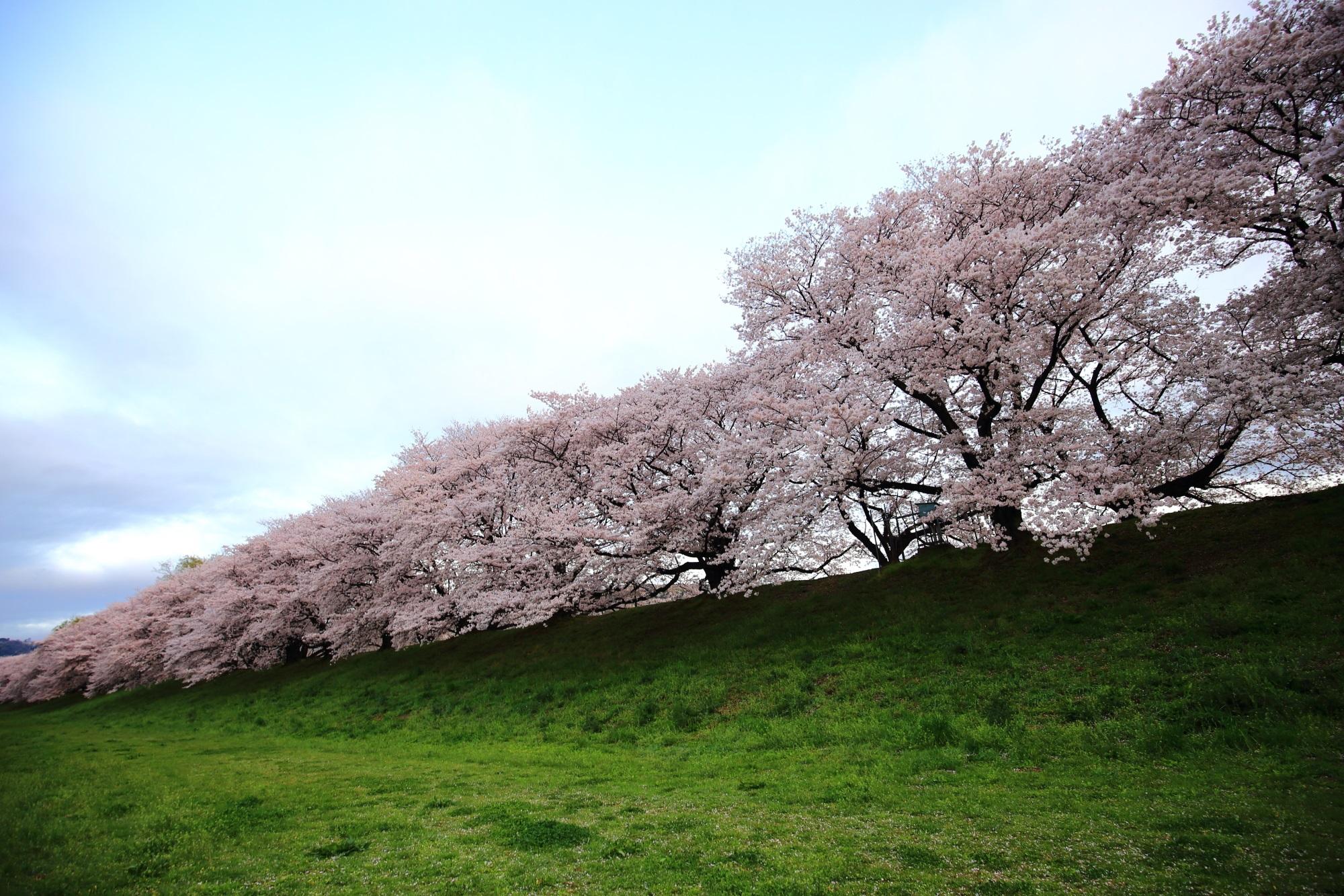 凄すぎる圧巻の桜並木