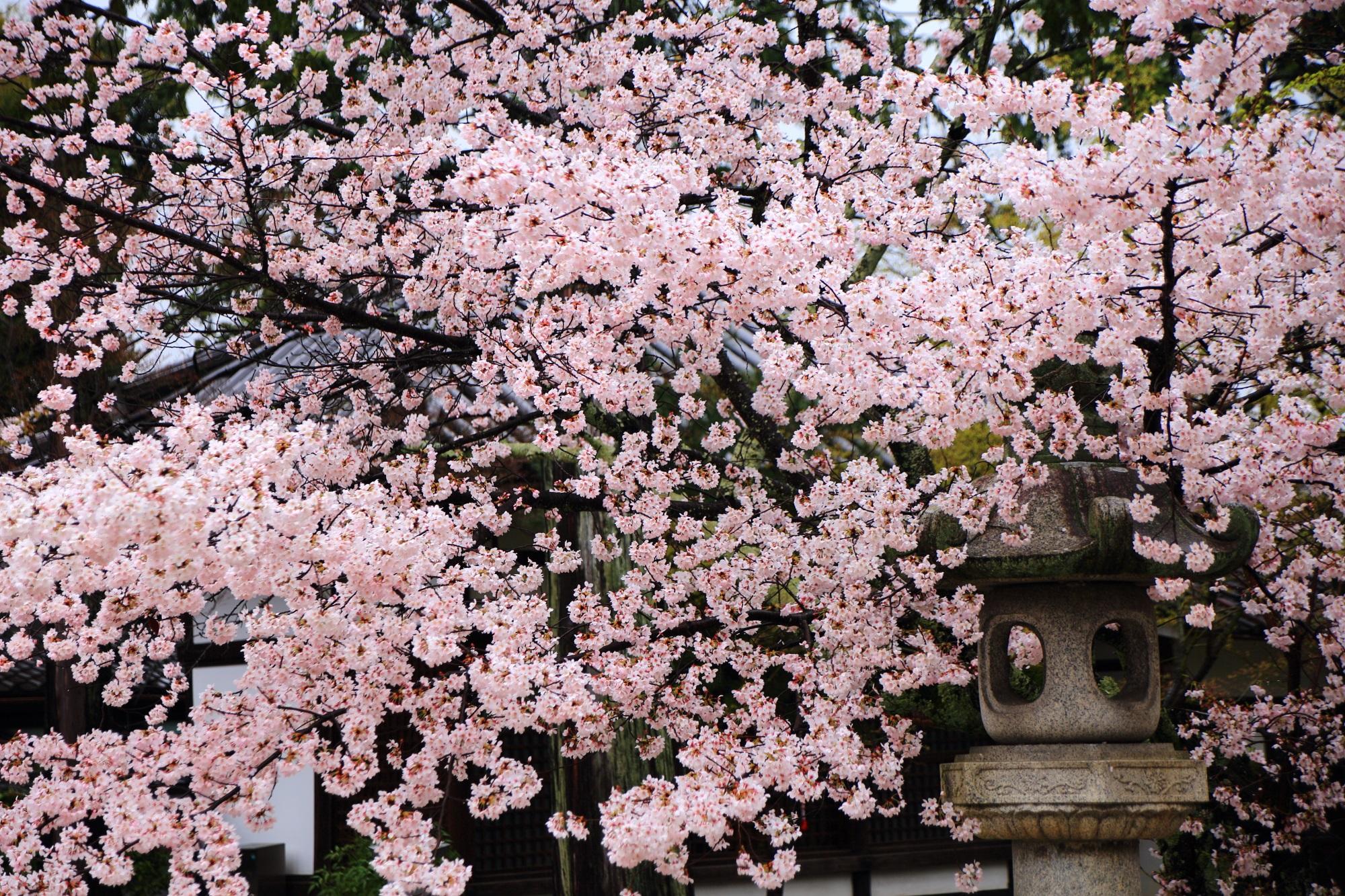 雨に輝く優雅な桜