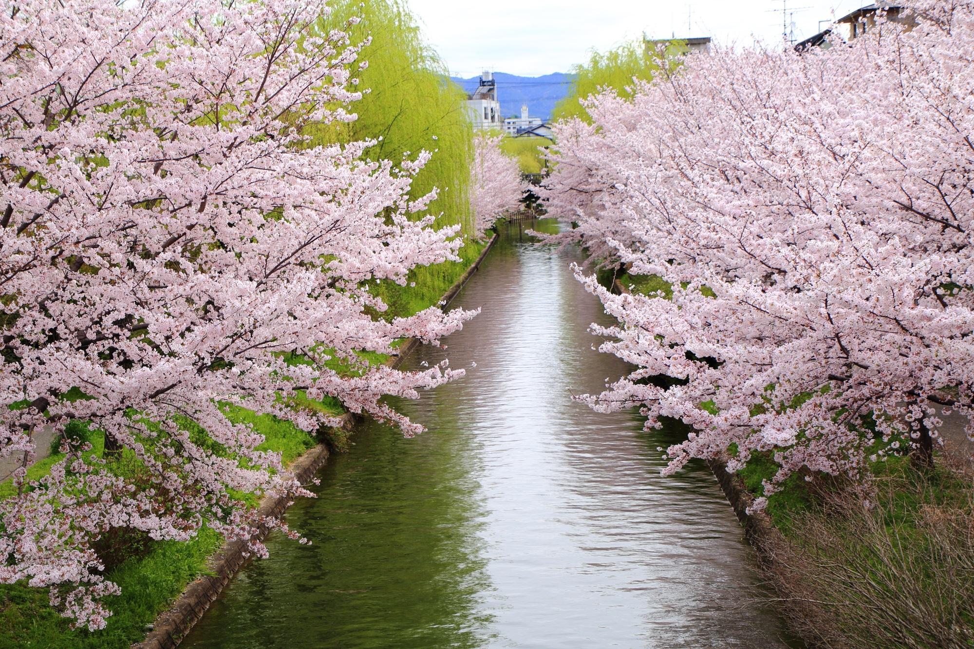 宇治川派流の素晴らしい桜と春の情景