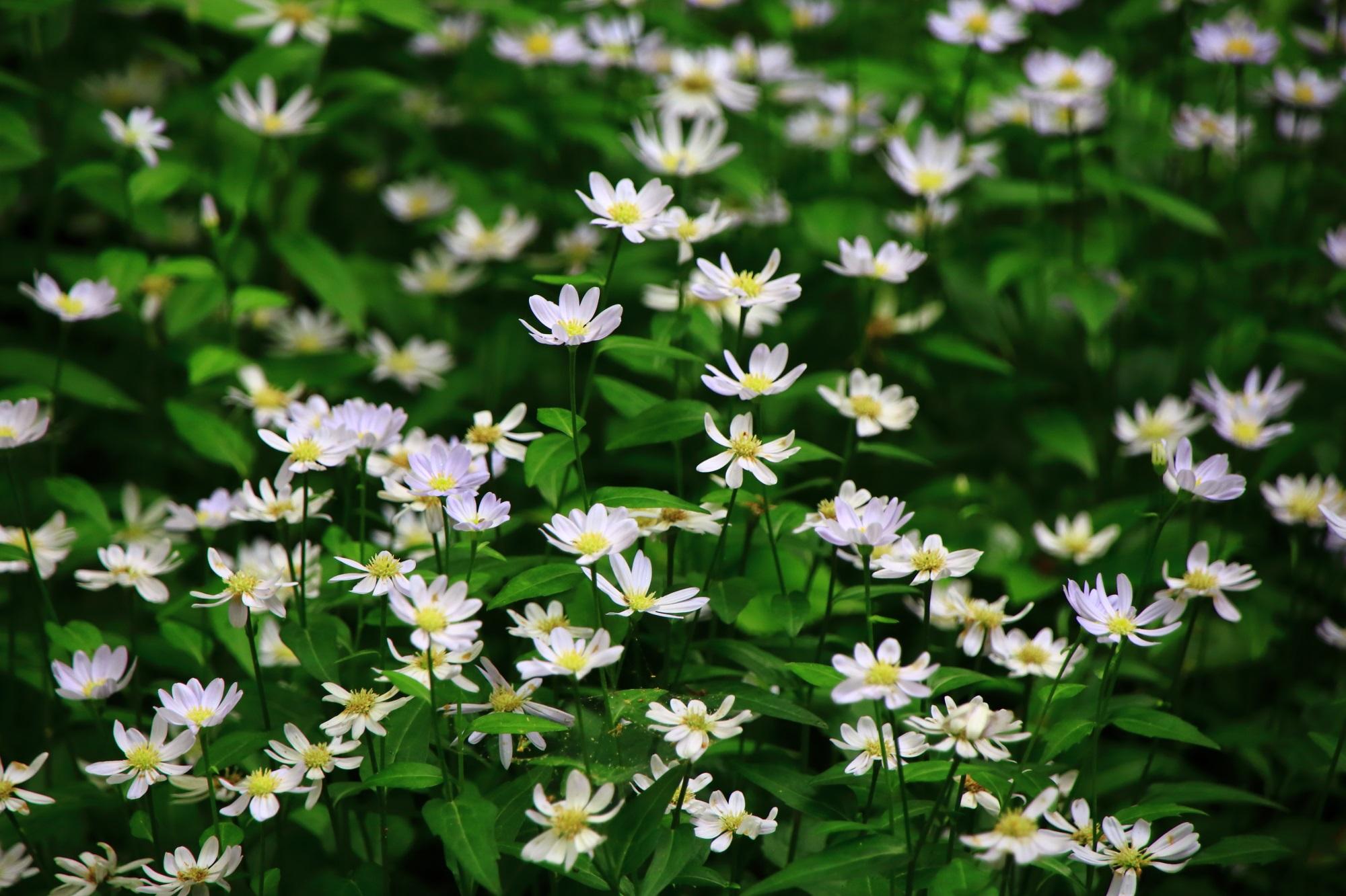 蓮華寺の参道の白い華やかな花