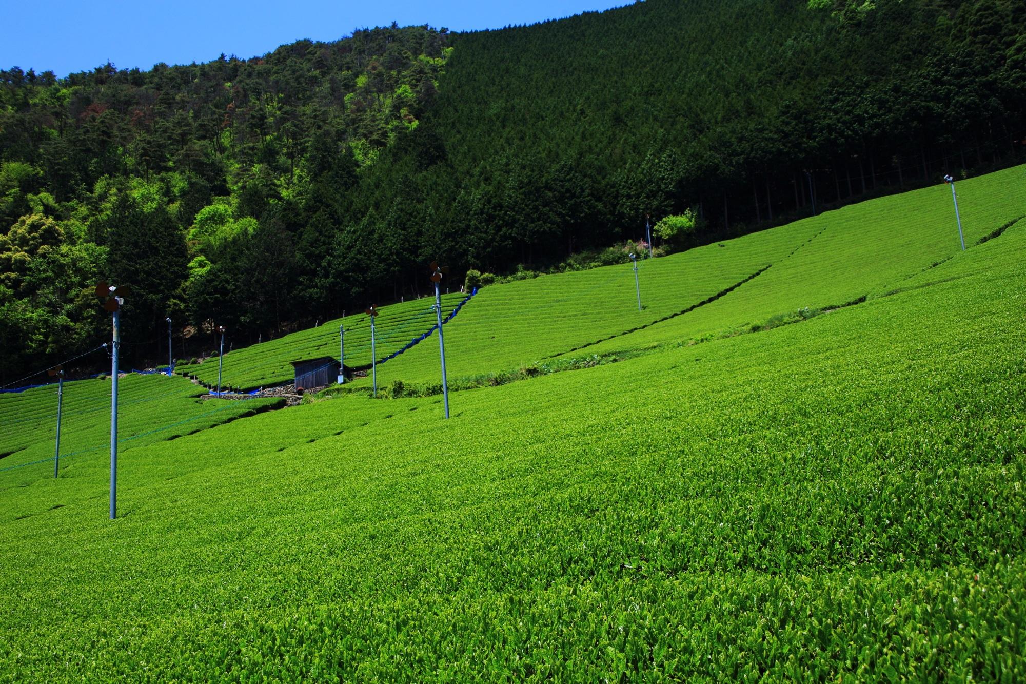 山の木々の濃い緑とお茶畑の淡い緑の綺麗なコントラスト