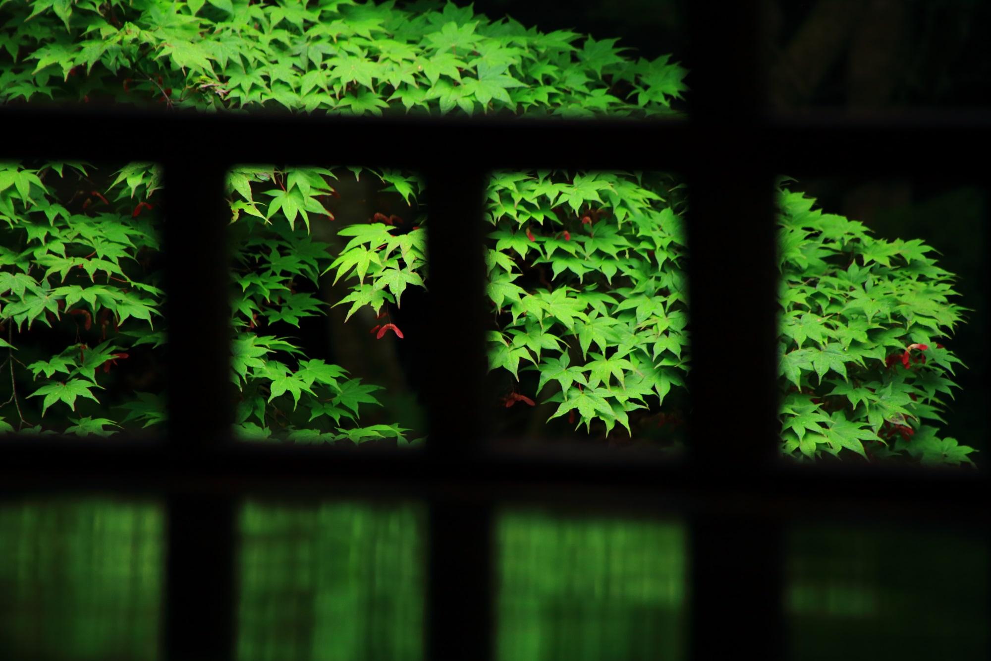 瑠璃光院 新緑 青もみじ 瑠璃の庭 秘境
