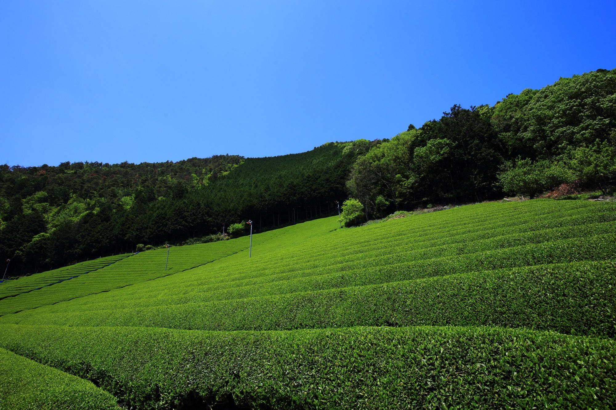 高画質 和束町 茶畑 画像