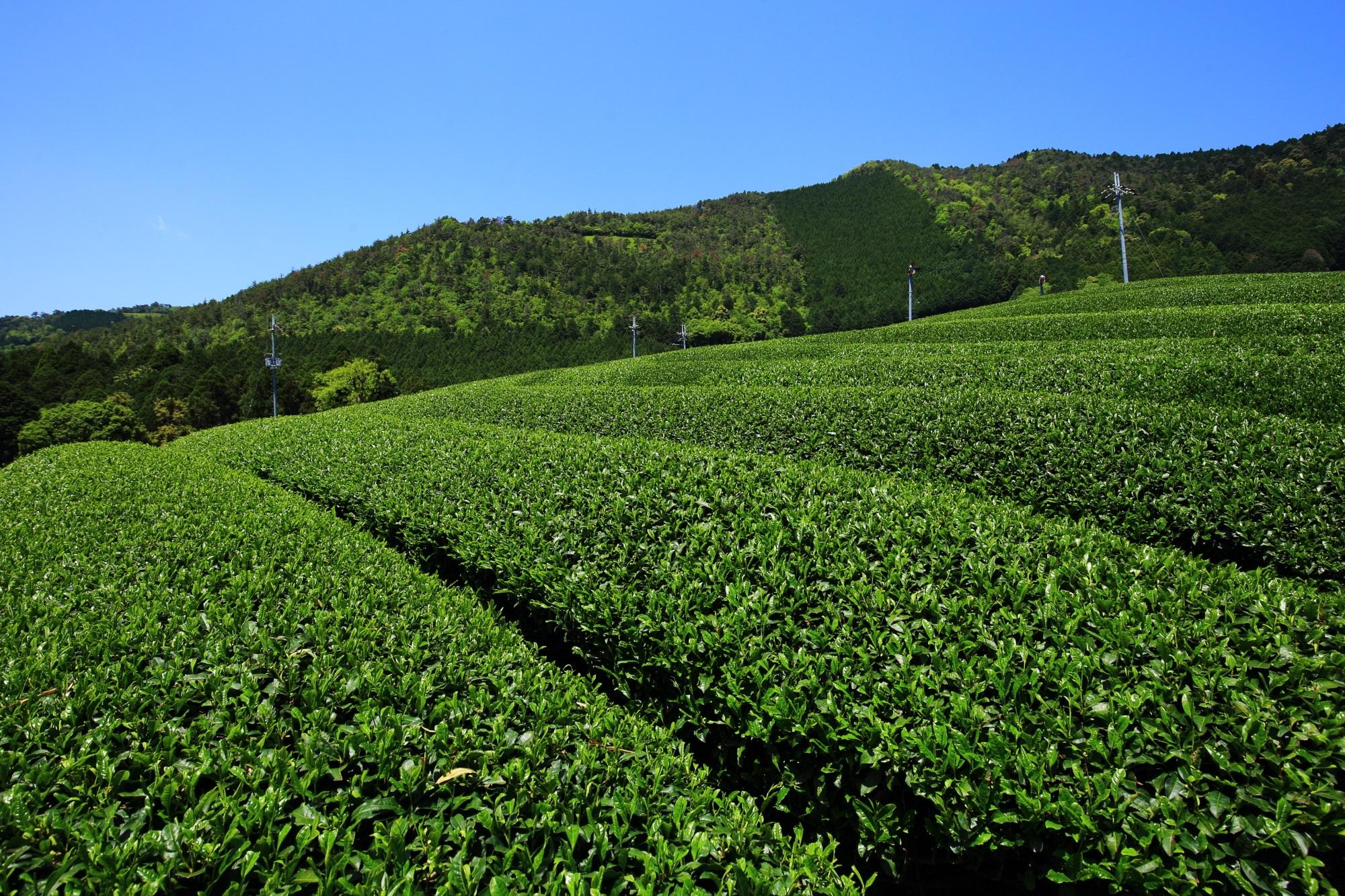山の斜面にそって広がるお茶畑