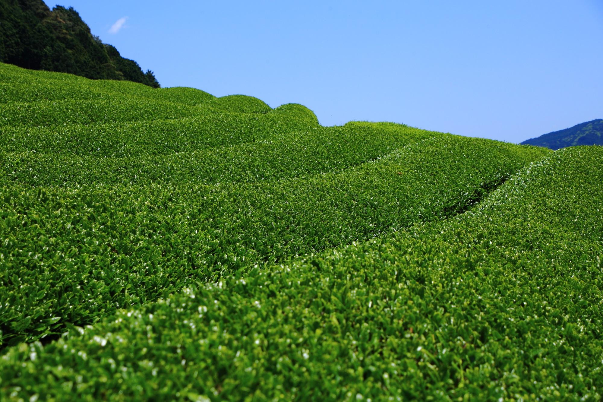 絶妙なカーブを描く滑らかなお茶畑