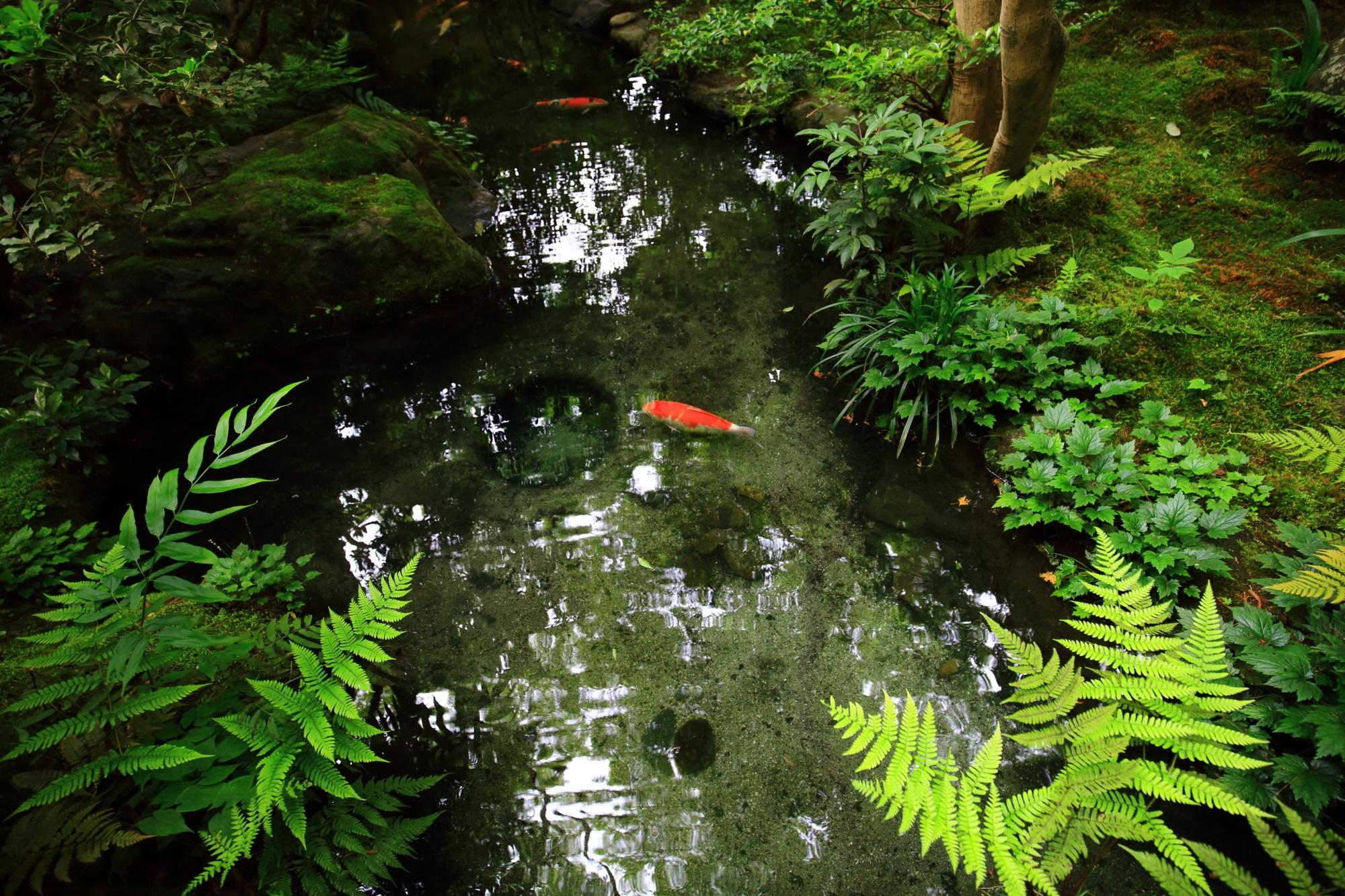 八瀬瑠璃光院の玄関前の美しい池と鯉