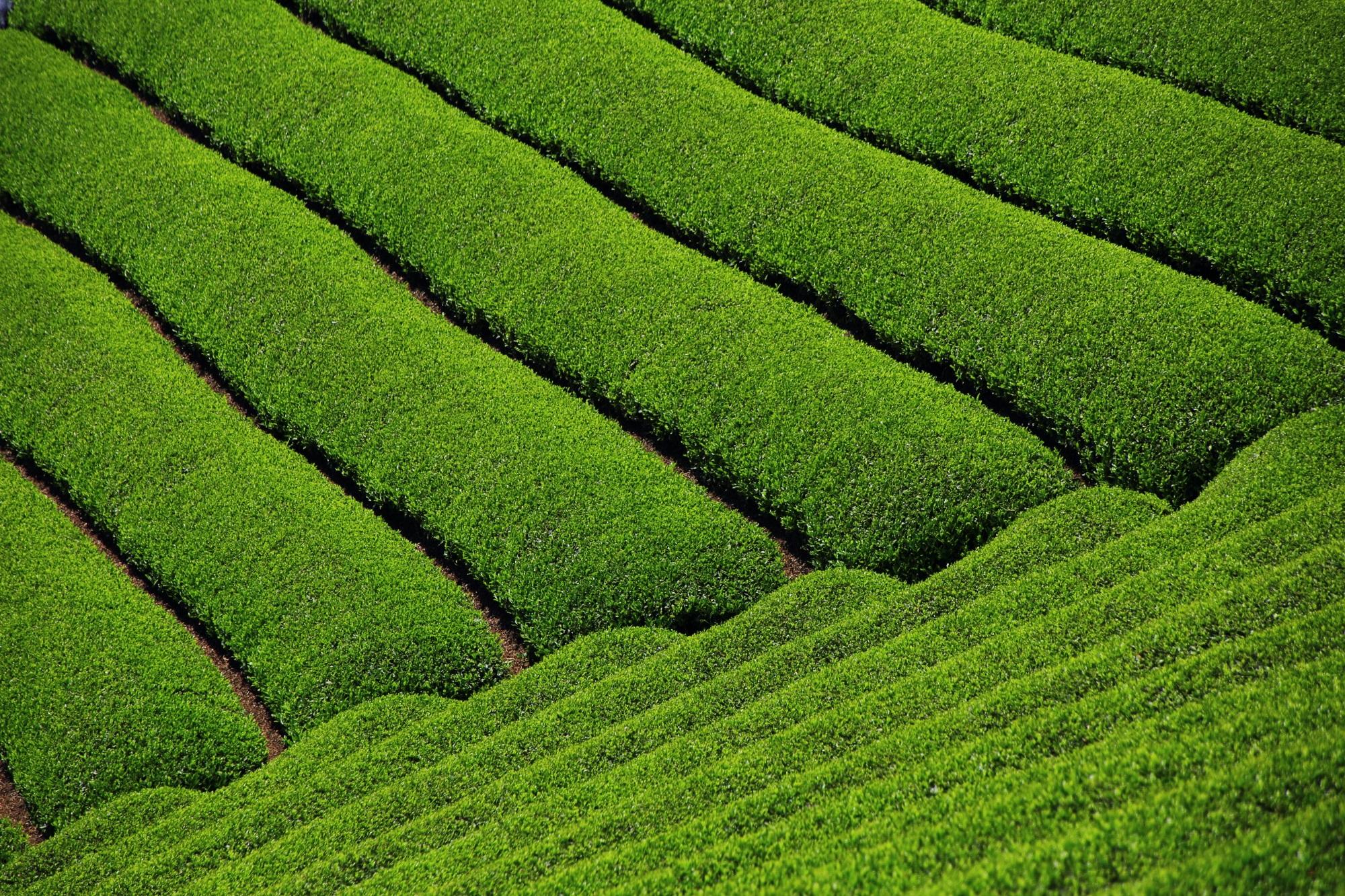 淡く優しい緑色をしたお茶畑
