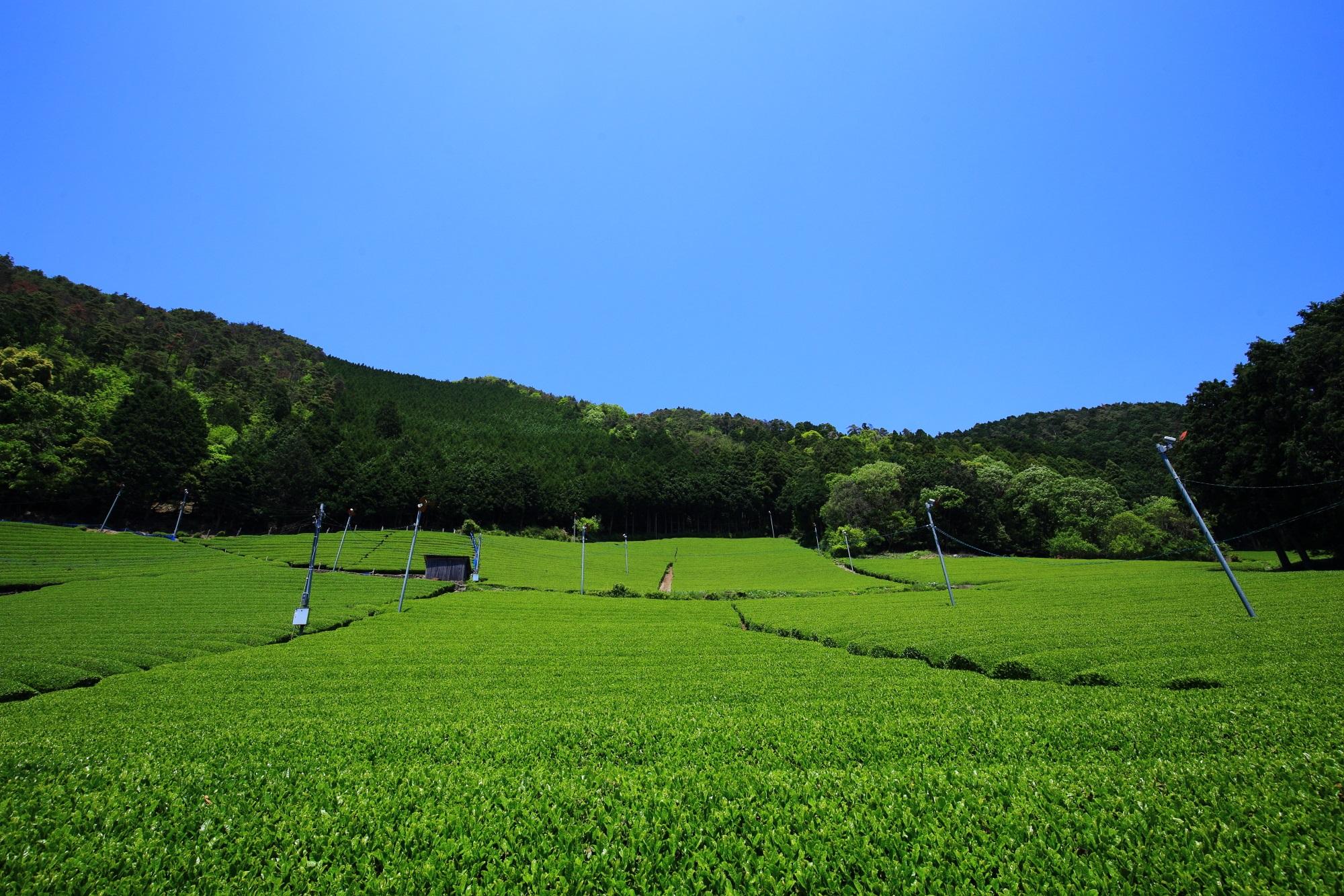 山の山頂に向かって広がる極上の緑のお茶畑と青空